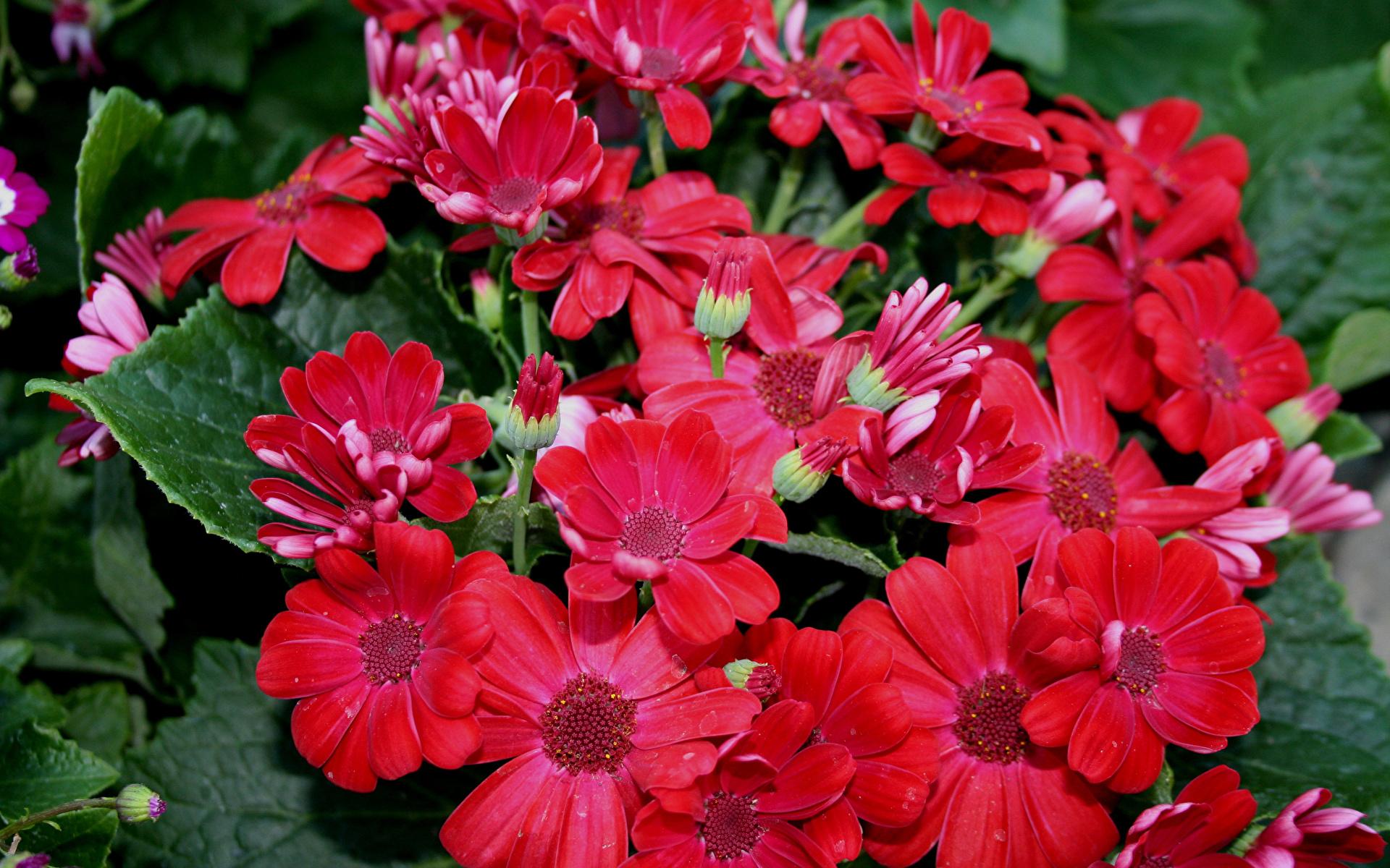 Wallpaper Red Flowers Geranium Closeup 1920x1200 flower
