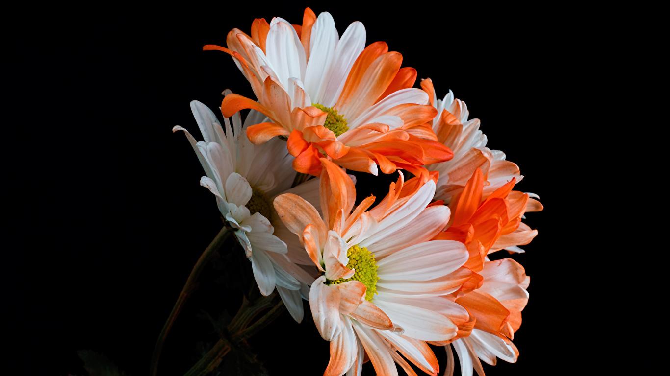 Fotos Blüte Chrysanthemen Großansicht Schwarzer Hintergrund 1366x768 Blumen hautnah Nahaufnahme