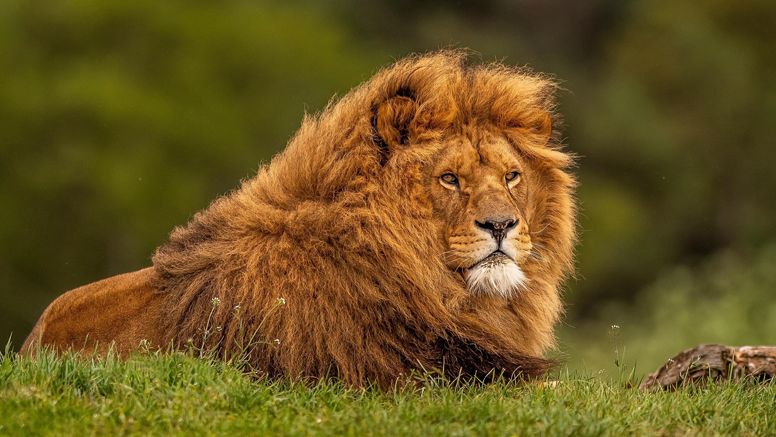 Fonds Decran 2560x1440 Lions Herbe Animaux Télécharger Photo