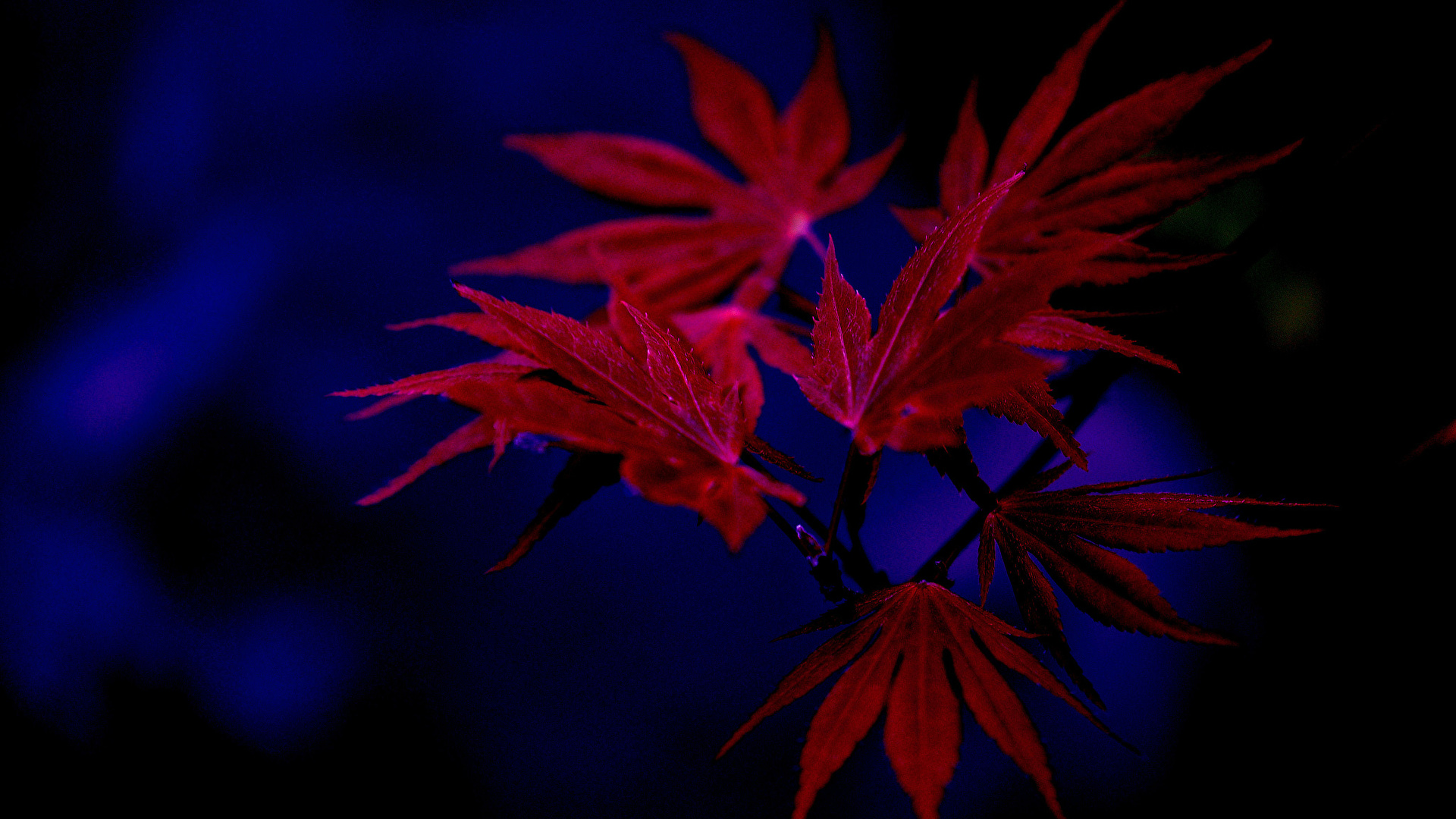 Picture Leaf Acer Nature Autumn Branches Closeup 1920x1080