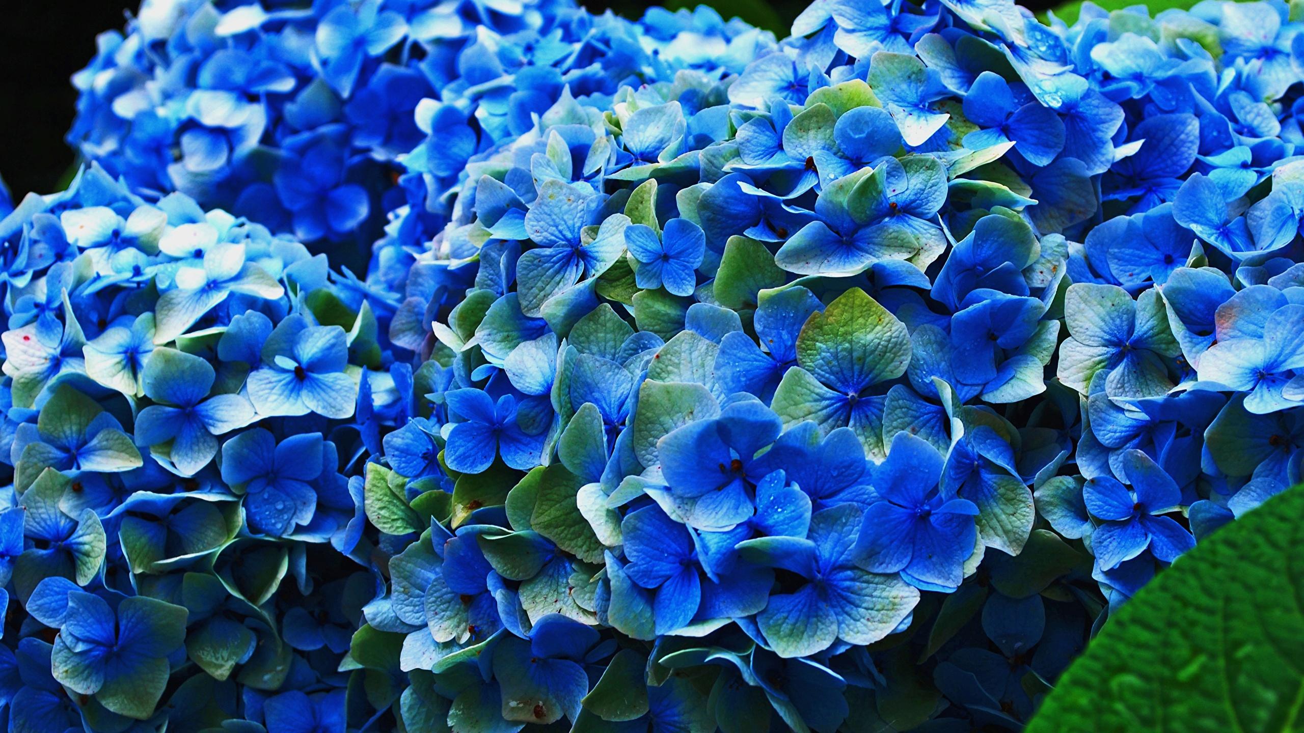 Fonds Decran 2560x1440 Hydrangea En Gros Plan Bleu Fleurs