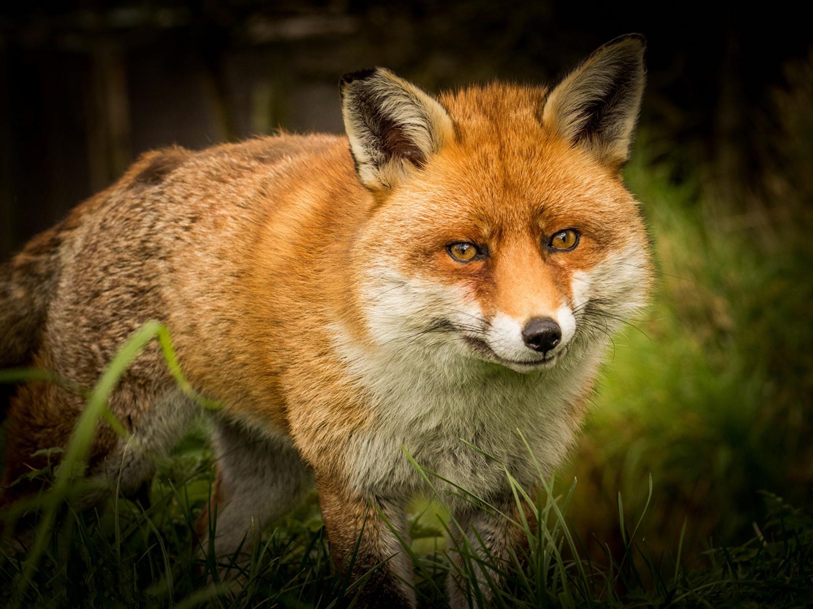 Fotos Füchse ingwer farbe Schnauze Starren ein Tier 1600x1200 Fuchsrot orange rot Tiere Blick