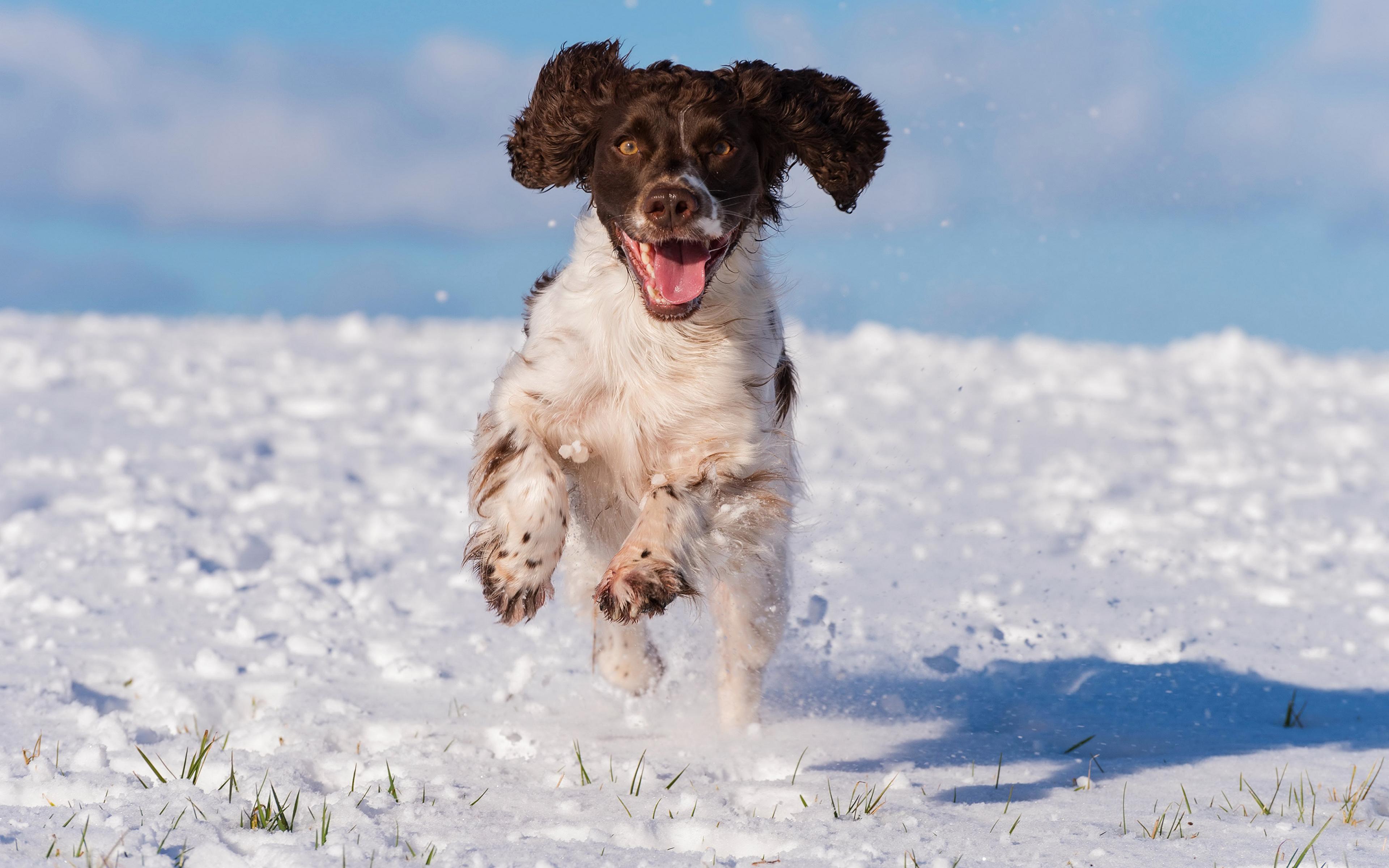 Hintergrundbilder Spaniel Hunde Laufsport cocker spaniel Schnee Tiere 3840x2400 Lauf Laufen