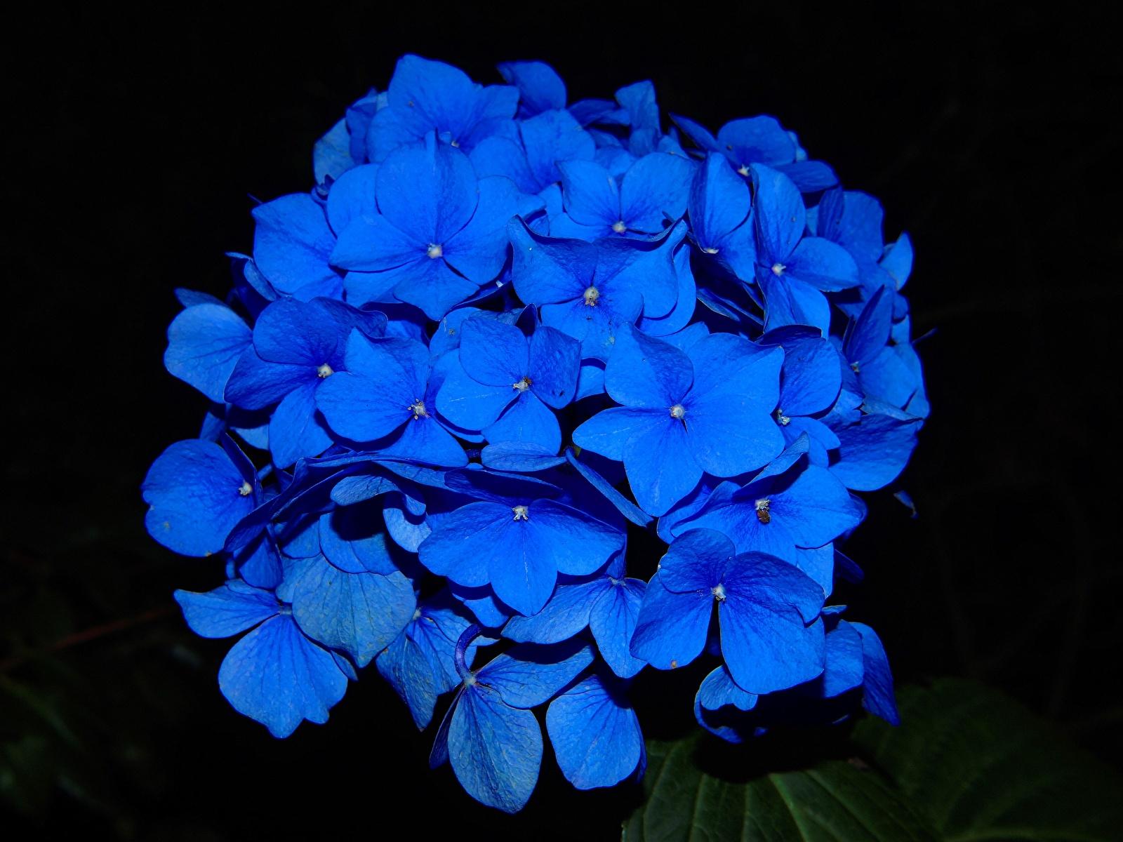 Foto Blau Blüte Hortensien Großansicht Schwarzer Hintergrund 1600x1200 Blumen Hortensie hautnah Nahaufnahme