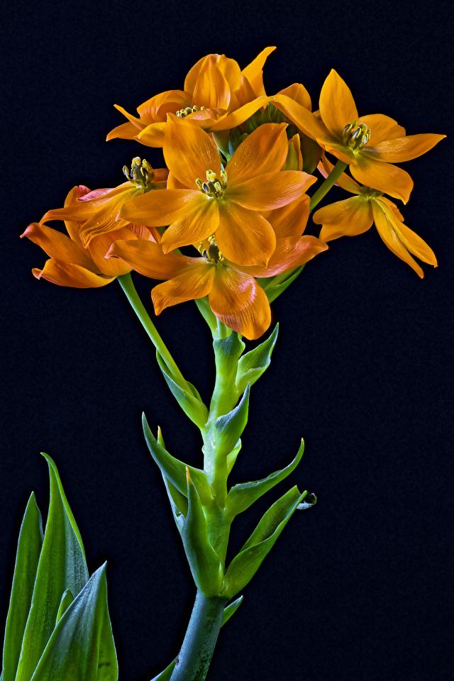 Foto Sun Star (Ornithogalum dubium) Orange Blumen hautnah Schwarzer Hintergrund 640x960 für Handy Blüte Nahaufnahme Großansicht