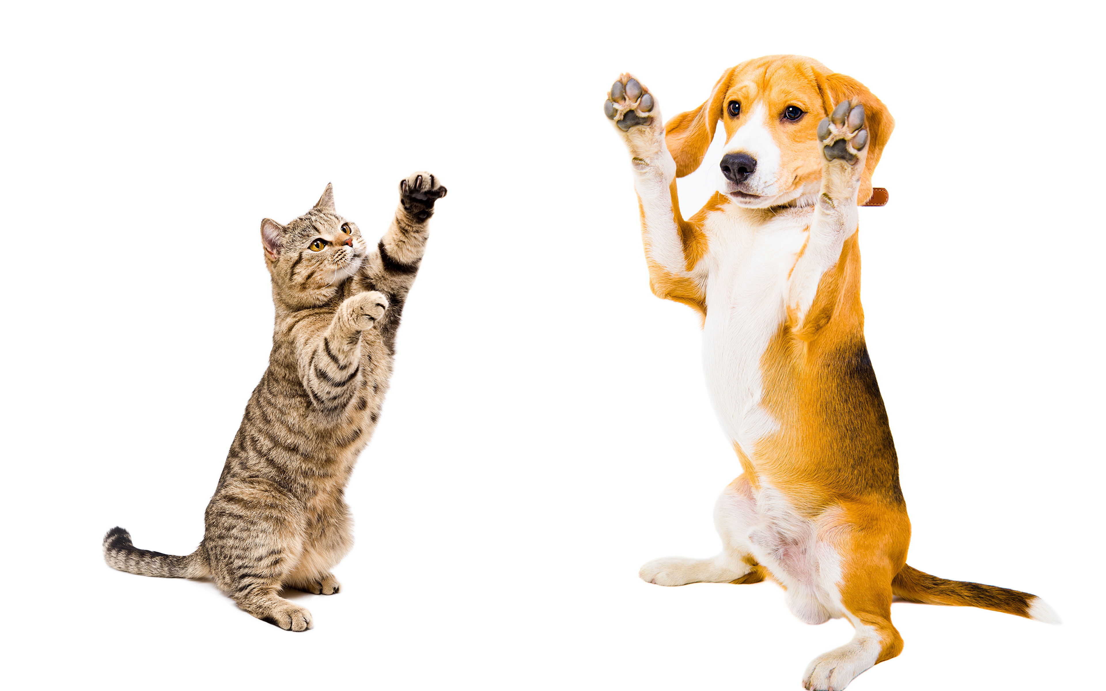 Images Beagle dog cat Two Animals White background 3840x2400 Dogs Cats 2 animal
