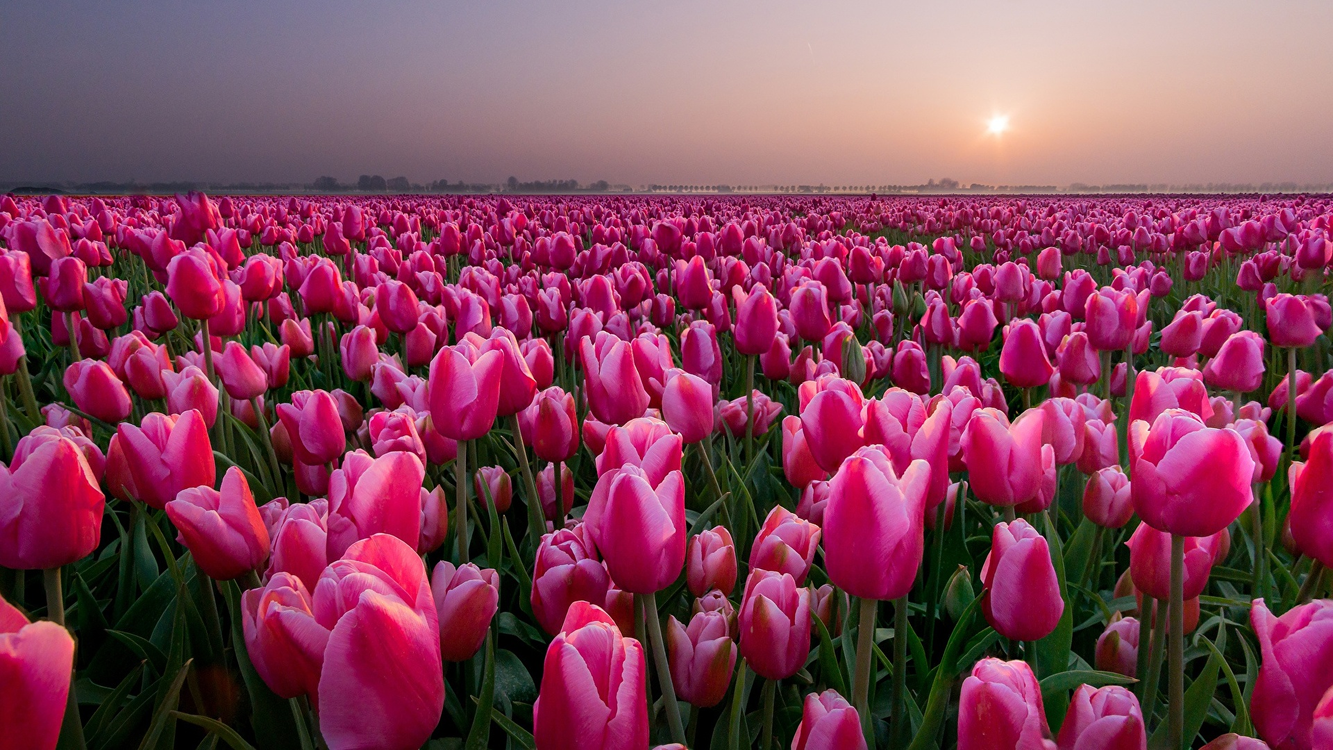 Picture tulip Pink color Fields Flowers 1920x1080