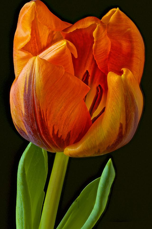 Fotos Orange Tulpen Blüte Nahaufnahme Schwarzer Hintergrund 640x960 für Handy Blumen hautnah Großansicht