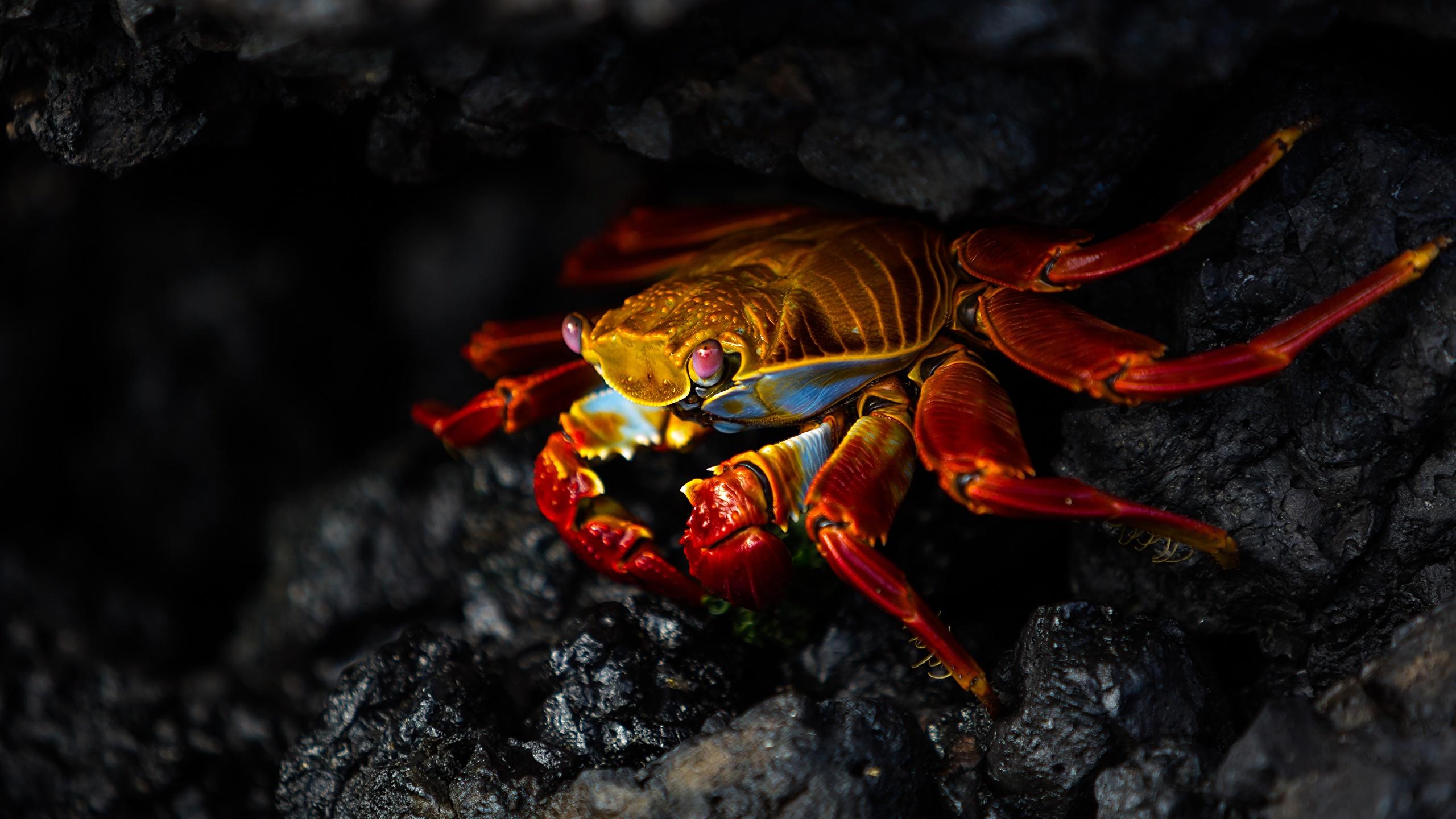 Image Crabs - Animals Animals Closeup 2560x1440 animal