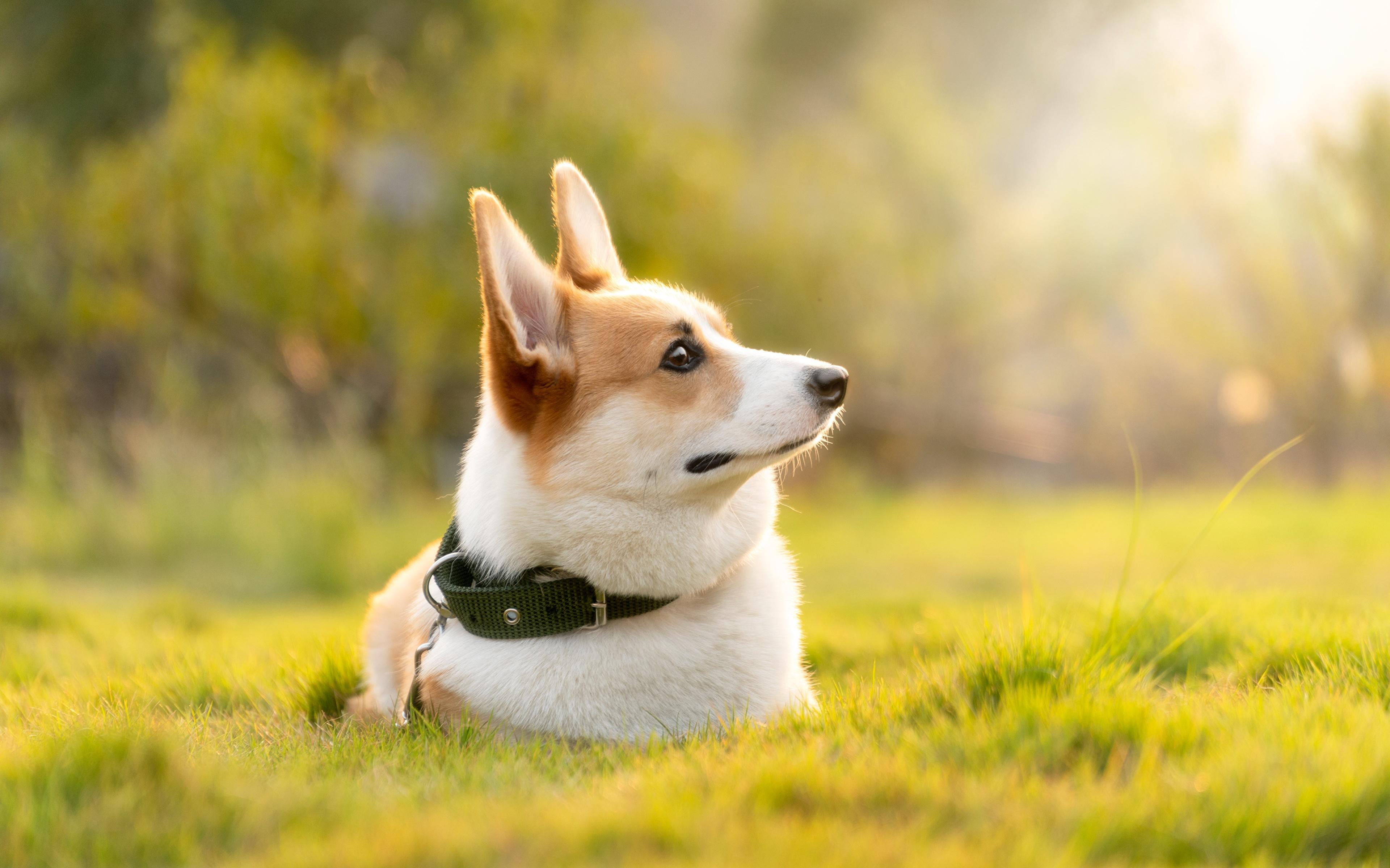 壁紙 3840x2400 イヌ 草 横になる ウェルシュ コーギー ボケ写真 動物 ダウンロード 写真