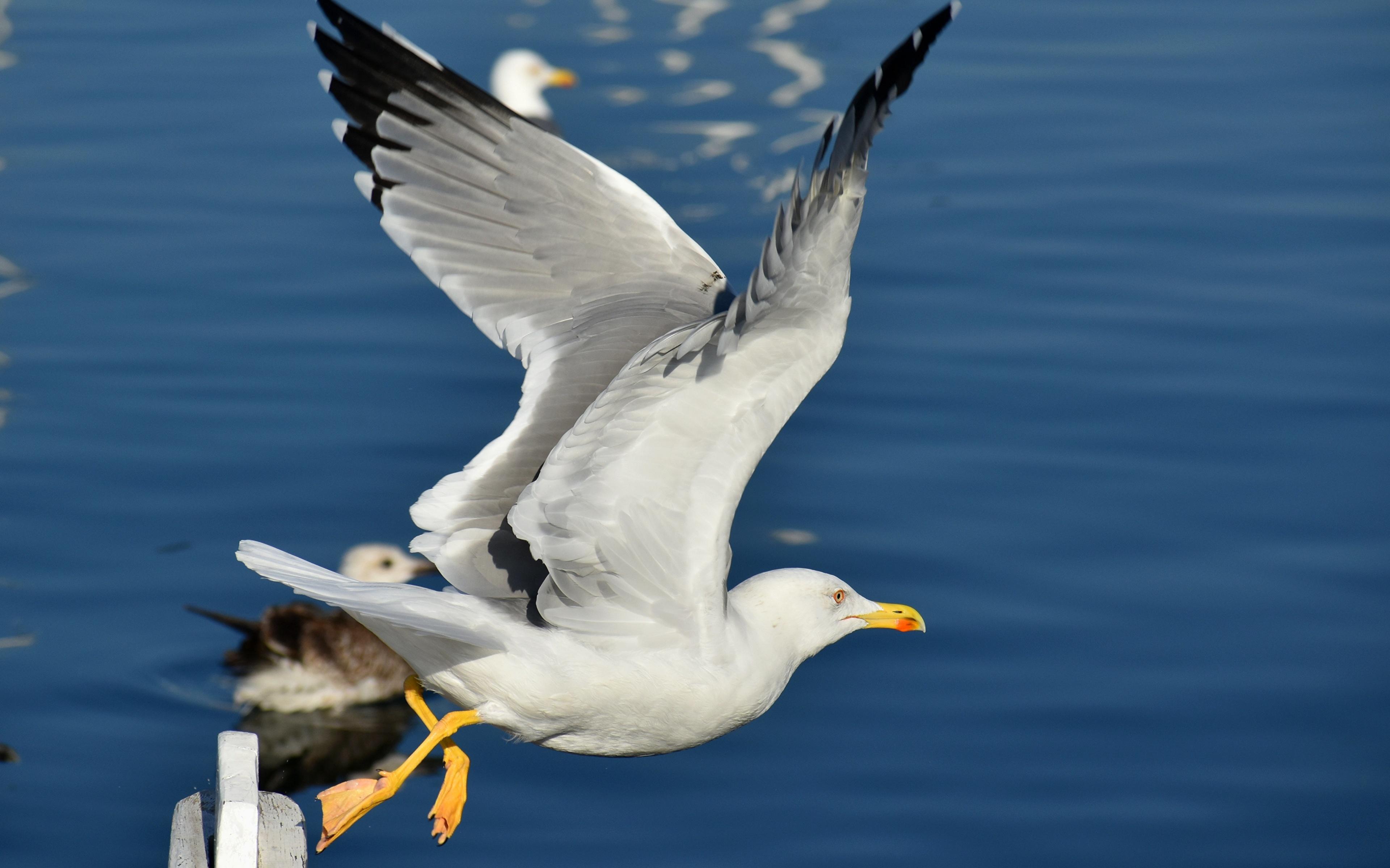 3840x2400 Aves Gaviotas Vuelo Ala animales, un animal, pájaro, pájaros, gaviotas Animalia