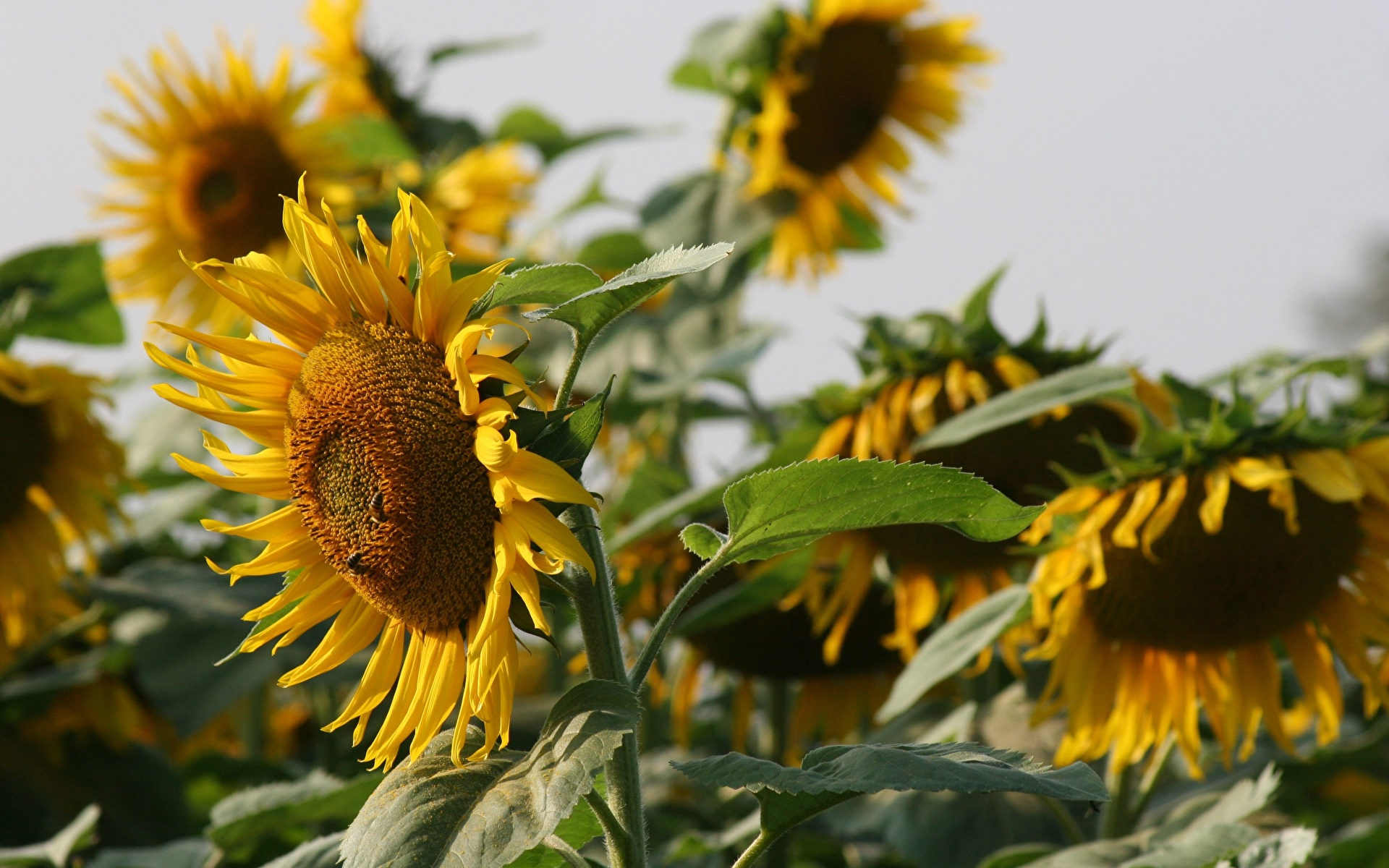 Foto Bokeh Gelb Blüte Sonnenblumen hautnah 1920x1200 unscharfer Hintergrund Blumen Nahaufnahme Großansicht
