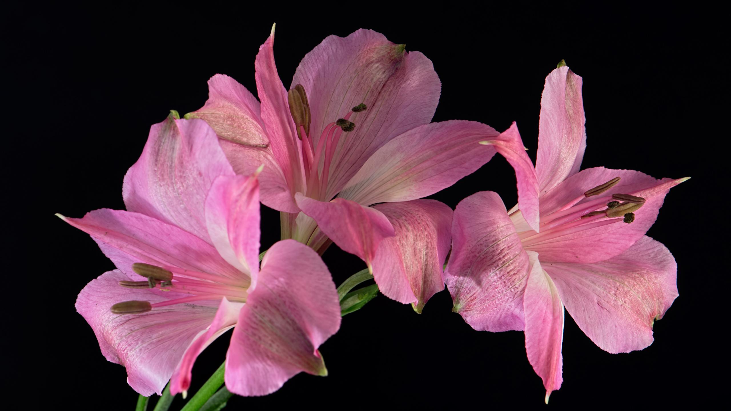 Fotos Rosa Farbe Blumen Alstroemeria Nahaufnahme Schwarzer Hintergrund 2560x1440 Blüte Inkalilien hautnah Großansicht