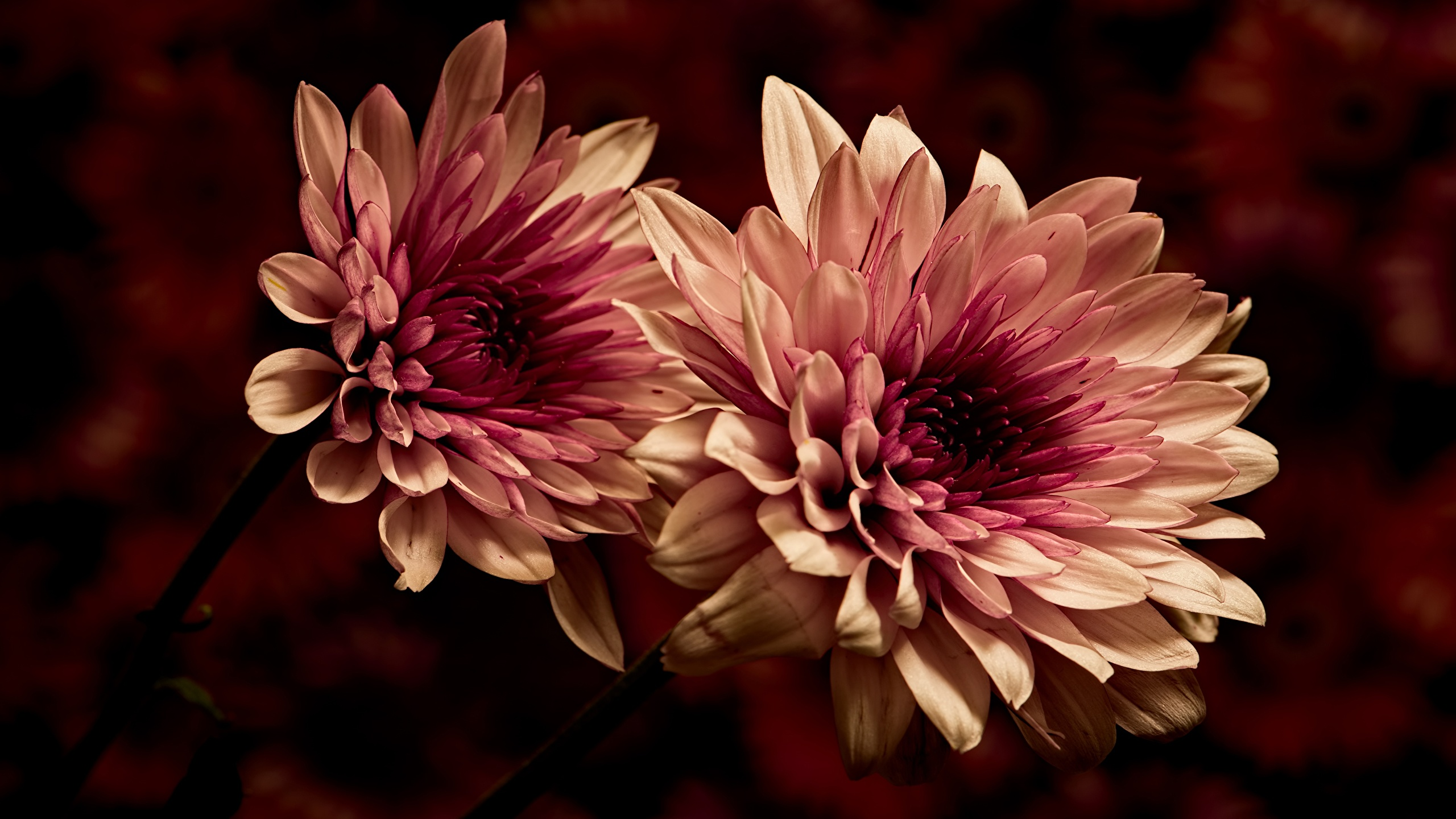 Image Two Dahlias Flowers Closeup 2560x1440 2 flower