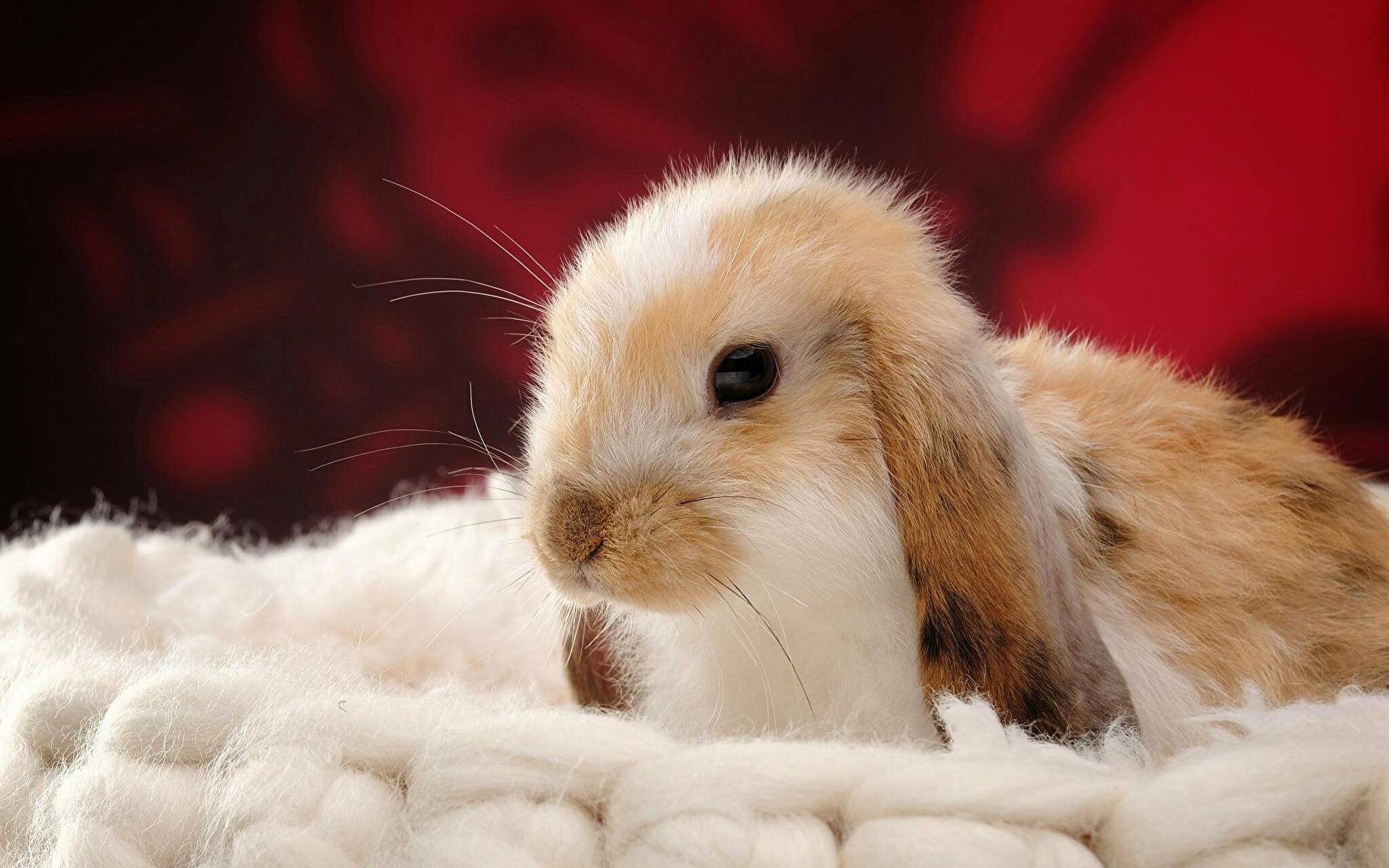 Bilder Kaniner Djur Huvud 1920x1200 kanin