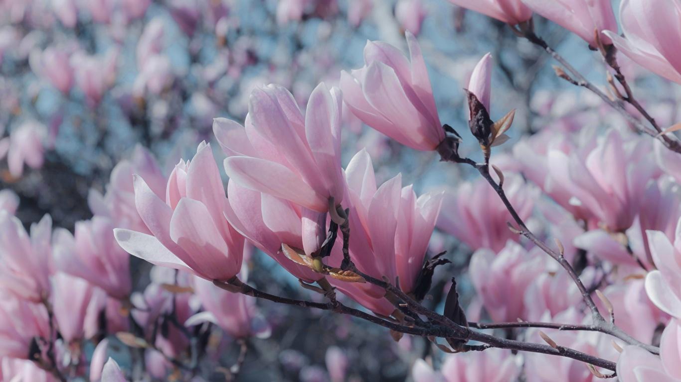 Fotos von Rosa Farbe Blüte Magnolien Ast hautnah 1366x768 Blumen Nahaufnahme Großansicht