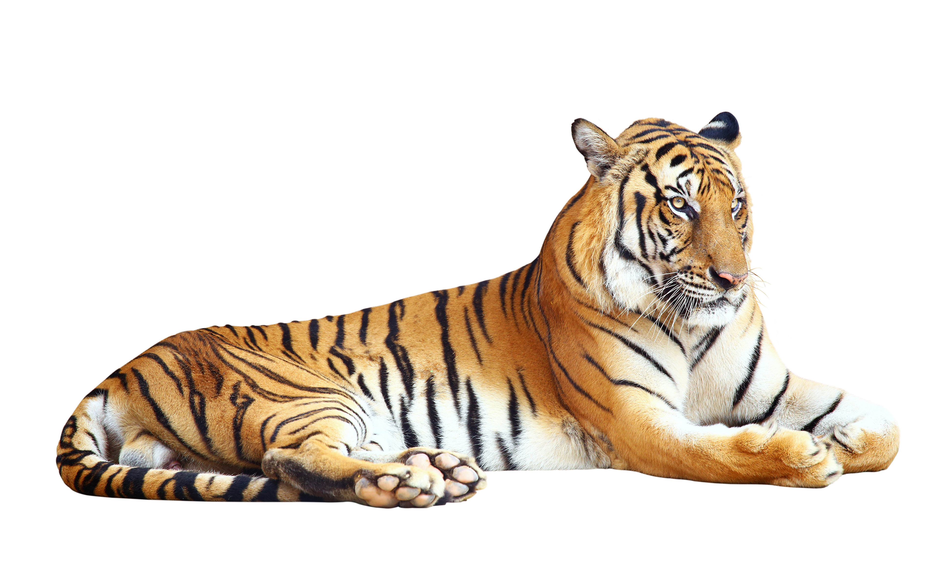 Pictures Tigers Big Cats Animal White Background 3840x2400