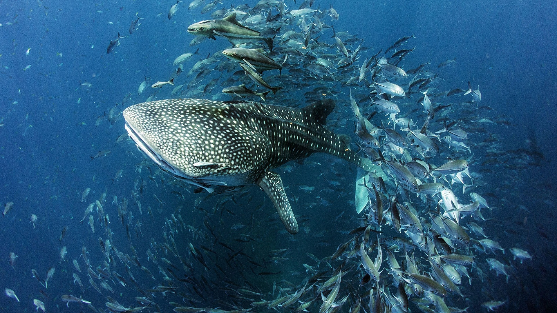 Photos Fish Sharks Underwater World Whale Shark Animal 1920x1080