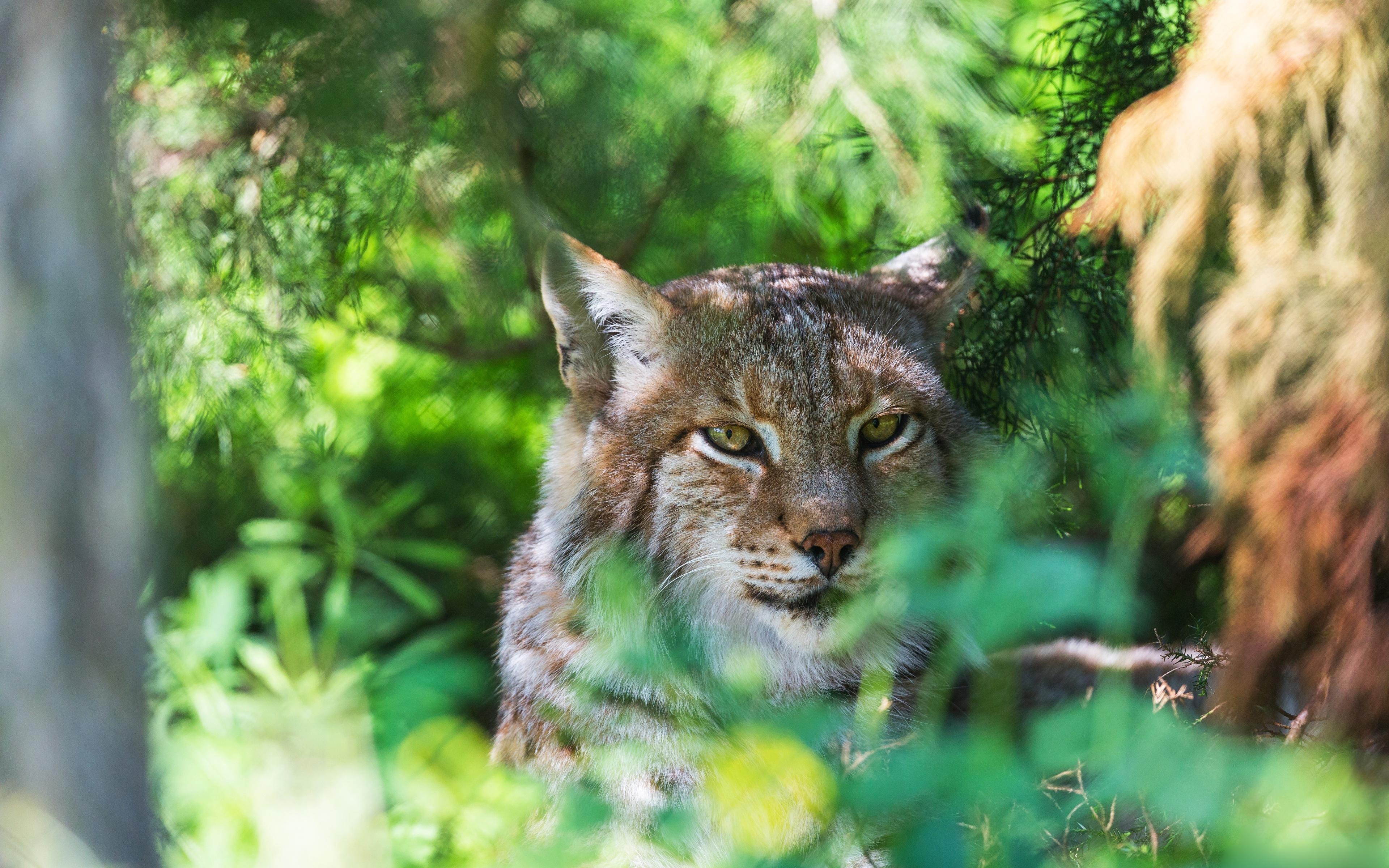 Fotos von Luchse Kopf Tiere Starren 3840x2400 Blick ein Tier