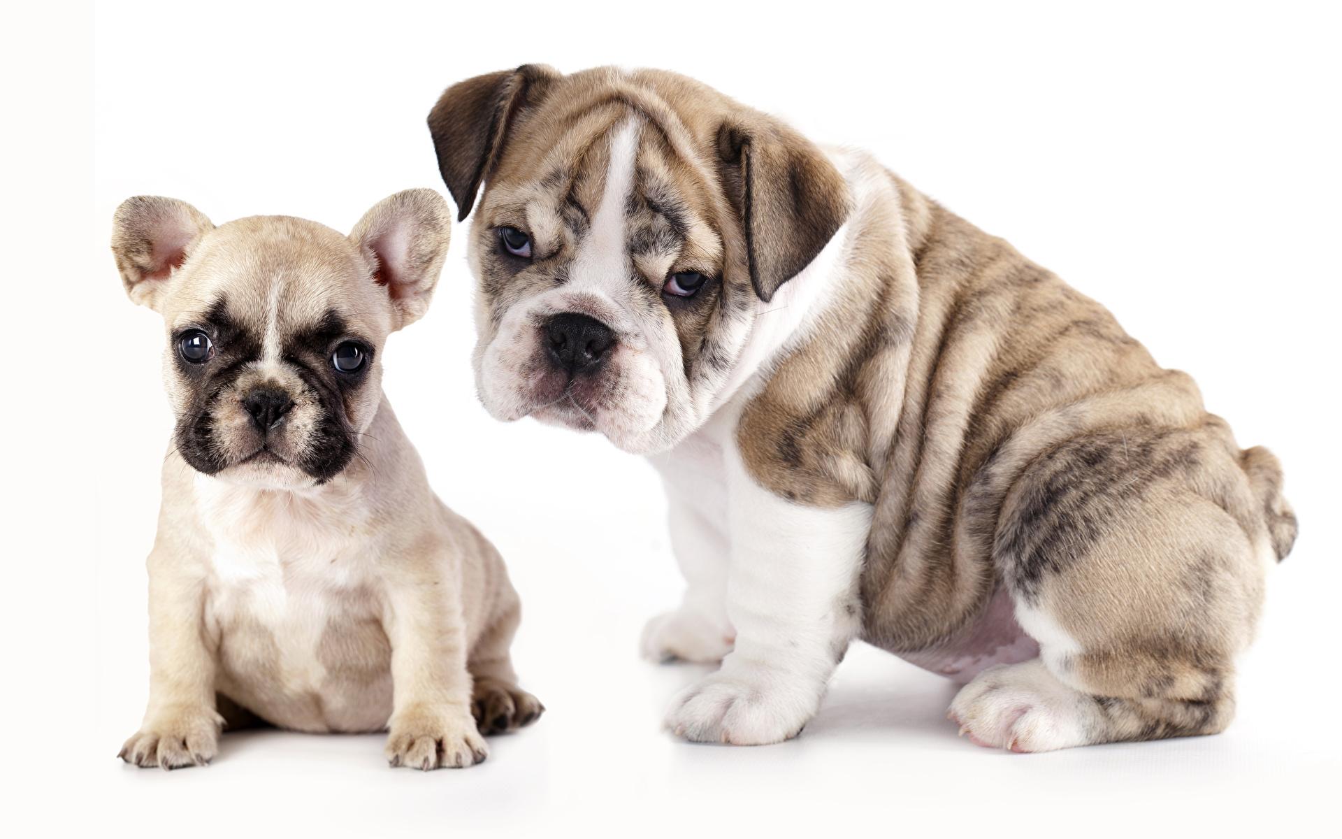 Image Bulldog dog Two Animals 1920x1200 Dogs 2 animal