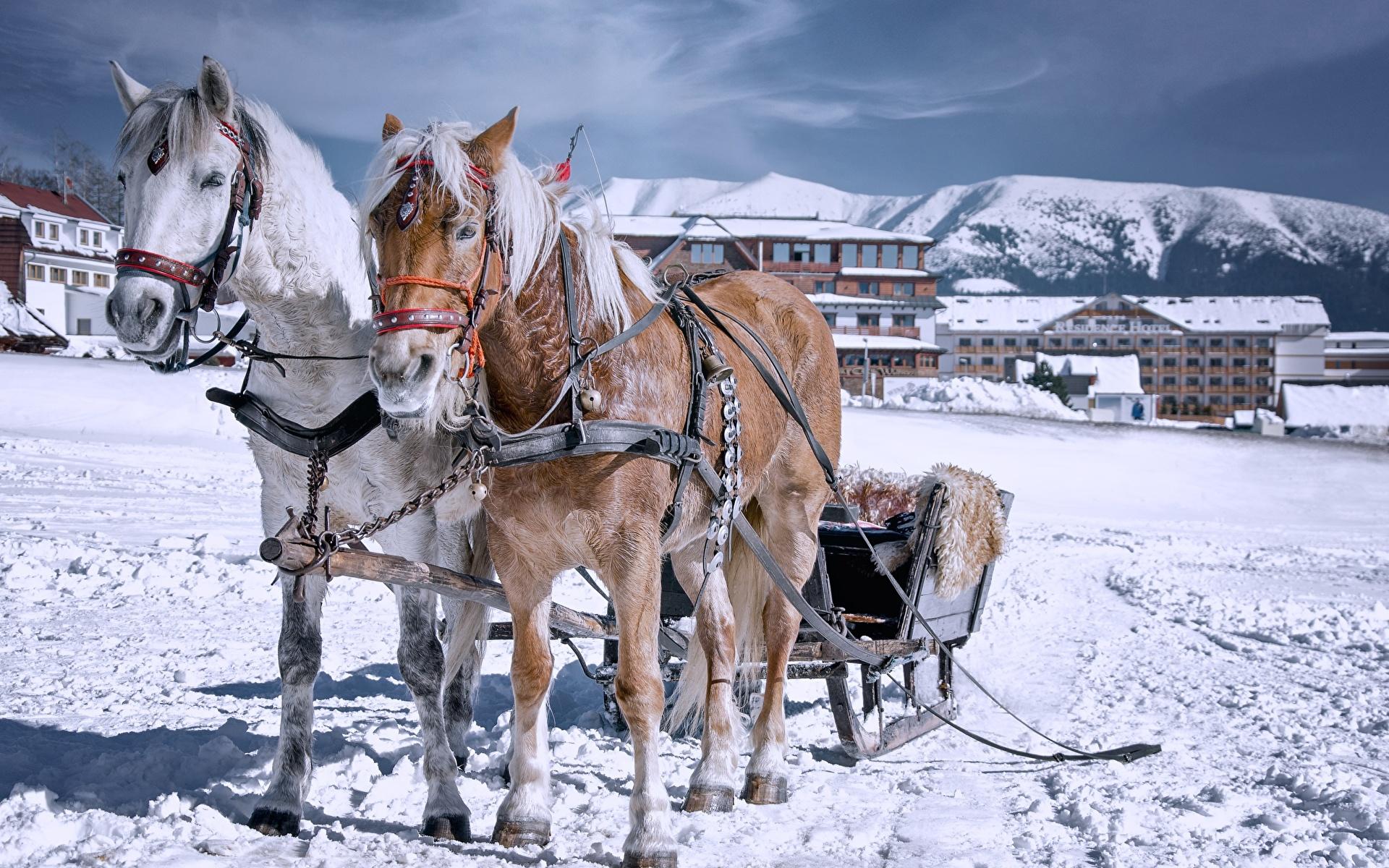 Обои для рабочего стола Лошади санках Зима Двое снега Животные 1920x1200 лошадь Сани Санки санях 2 два две зимние вдвоем Снег снегу снеге животное