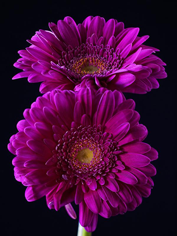 Bilder 2 Violett Gerbera Blumen Großansicht Schwarzer Hintergrund 600x800 Zwei