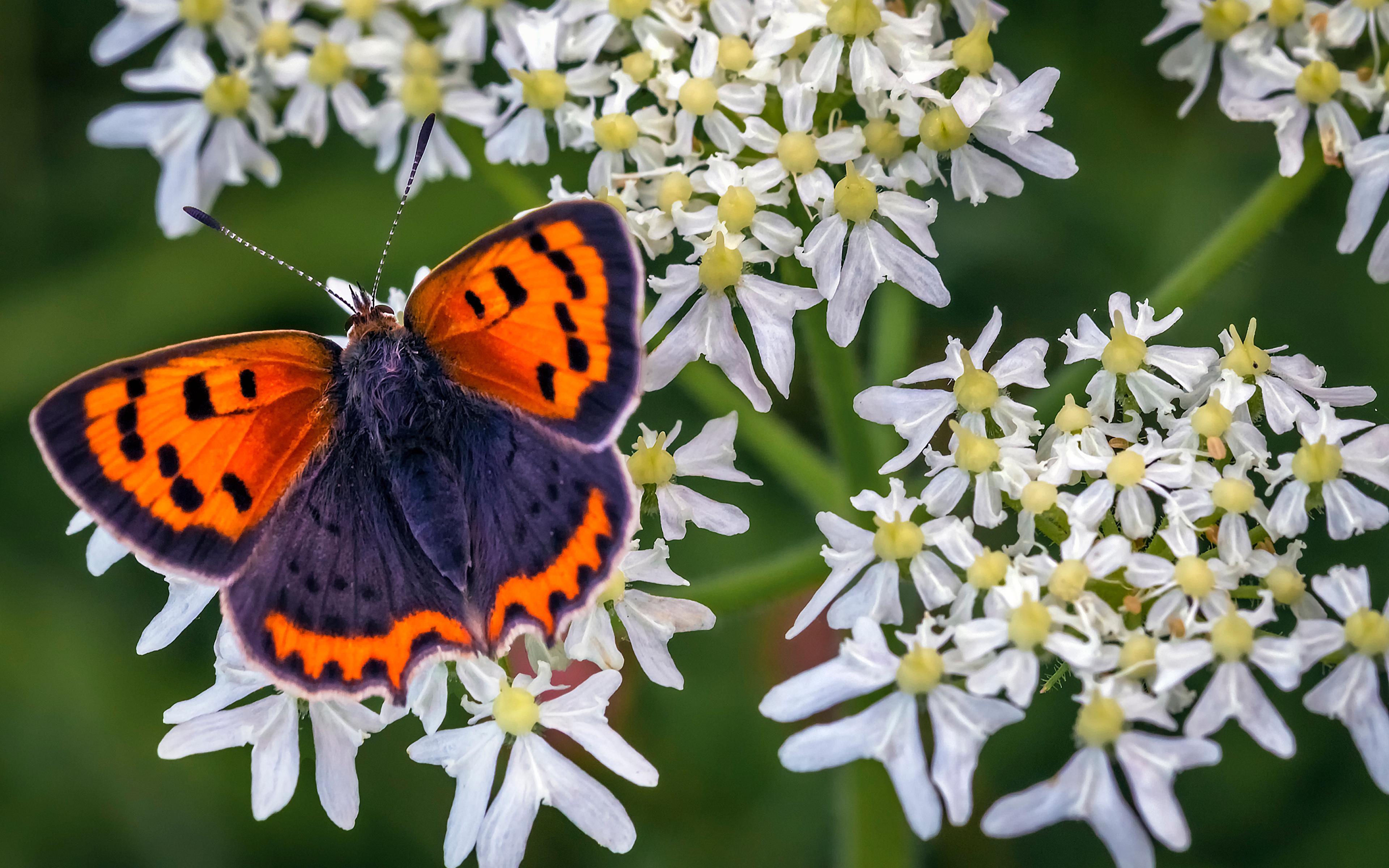 3840x2400 Papilionoidea Insectes En gros plan small copper un animal, papillons Animaux