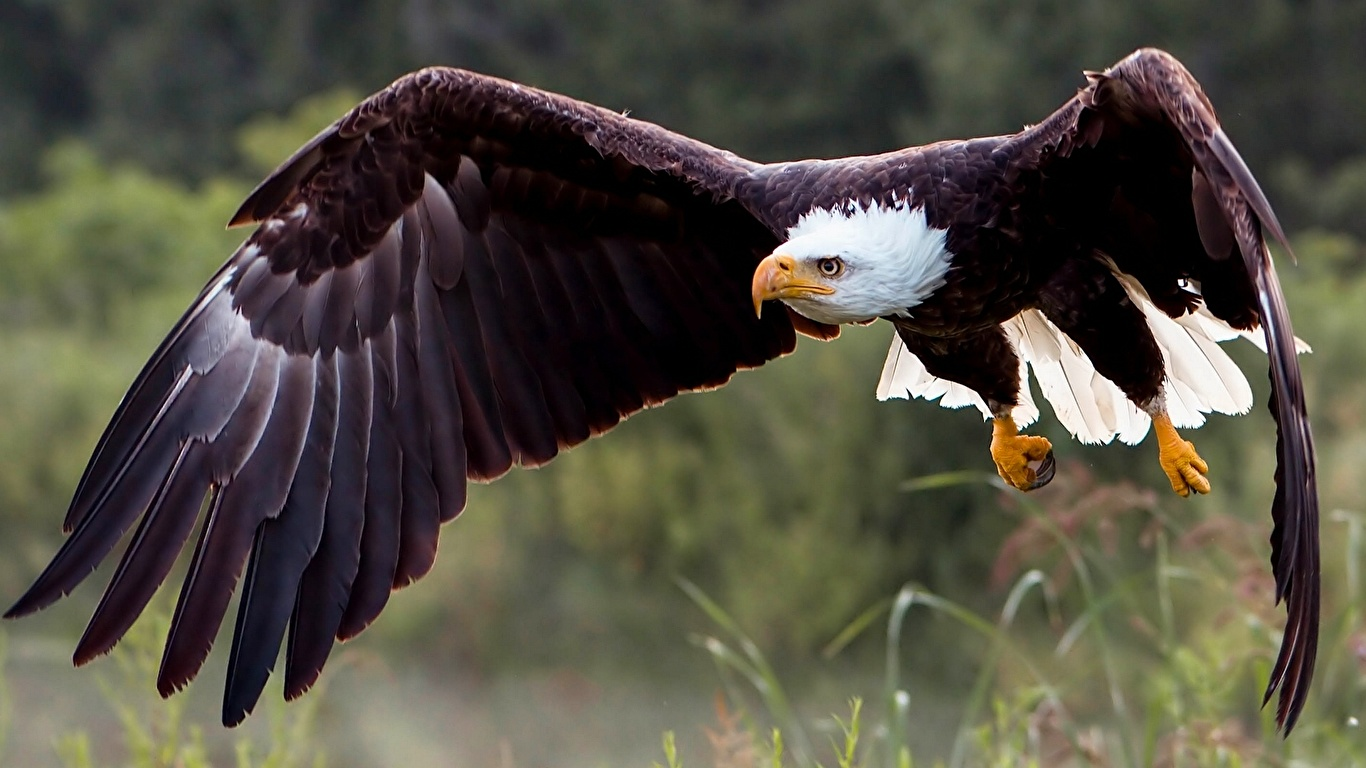 Wallpaper Bald Eagle bird Hawk Animals 1366x768 Birds animal