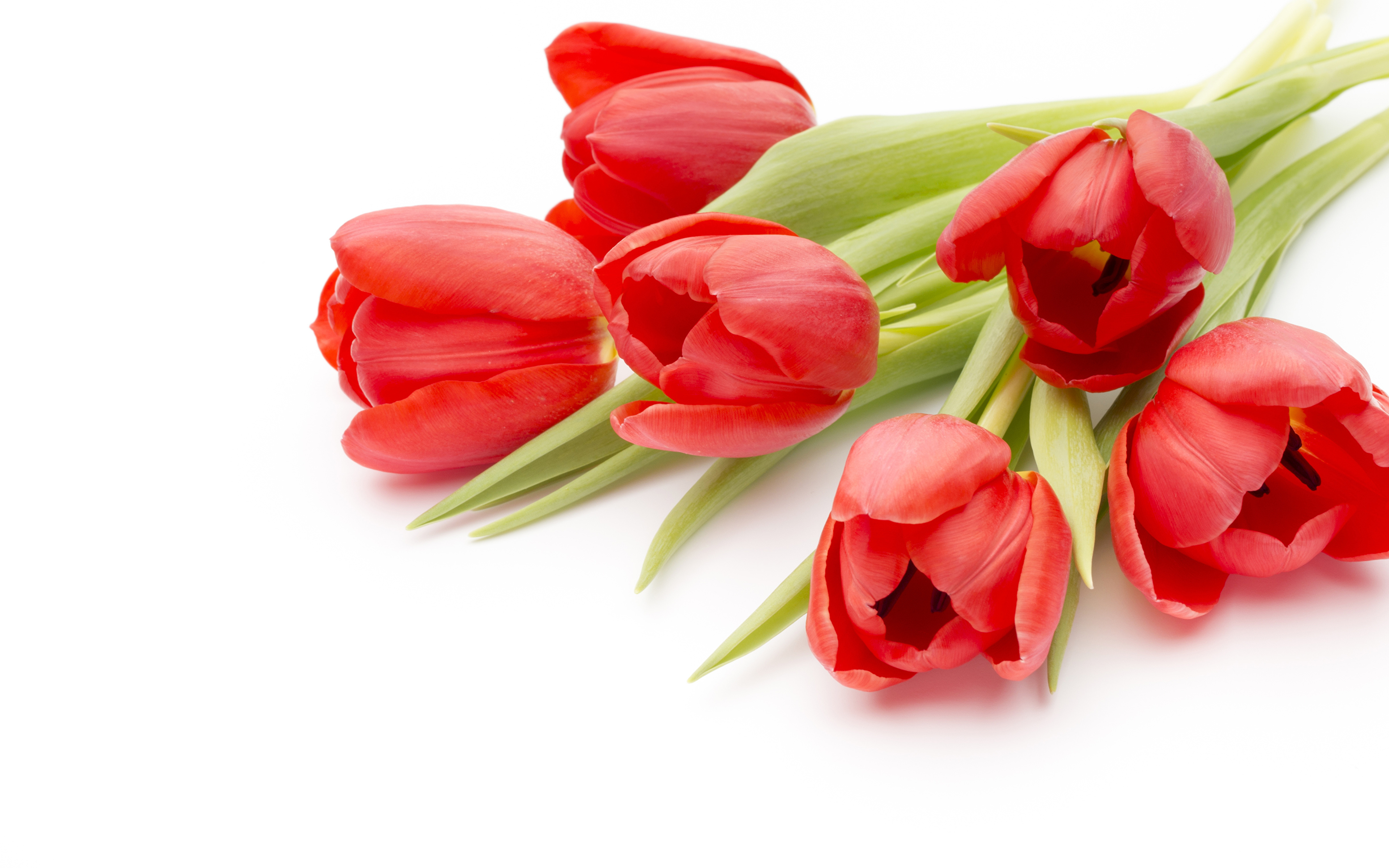 Images Red tulip Flowers Closeup White background 3840x2400