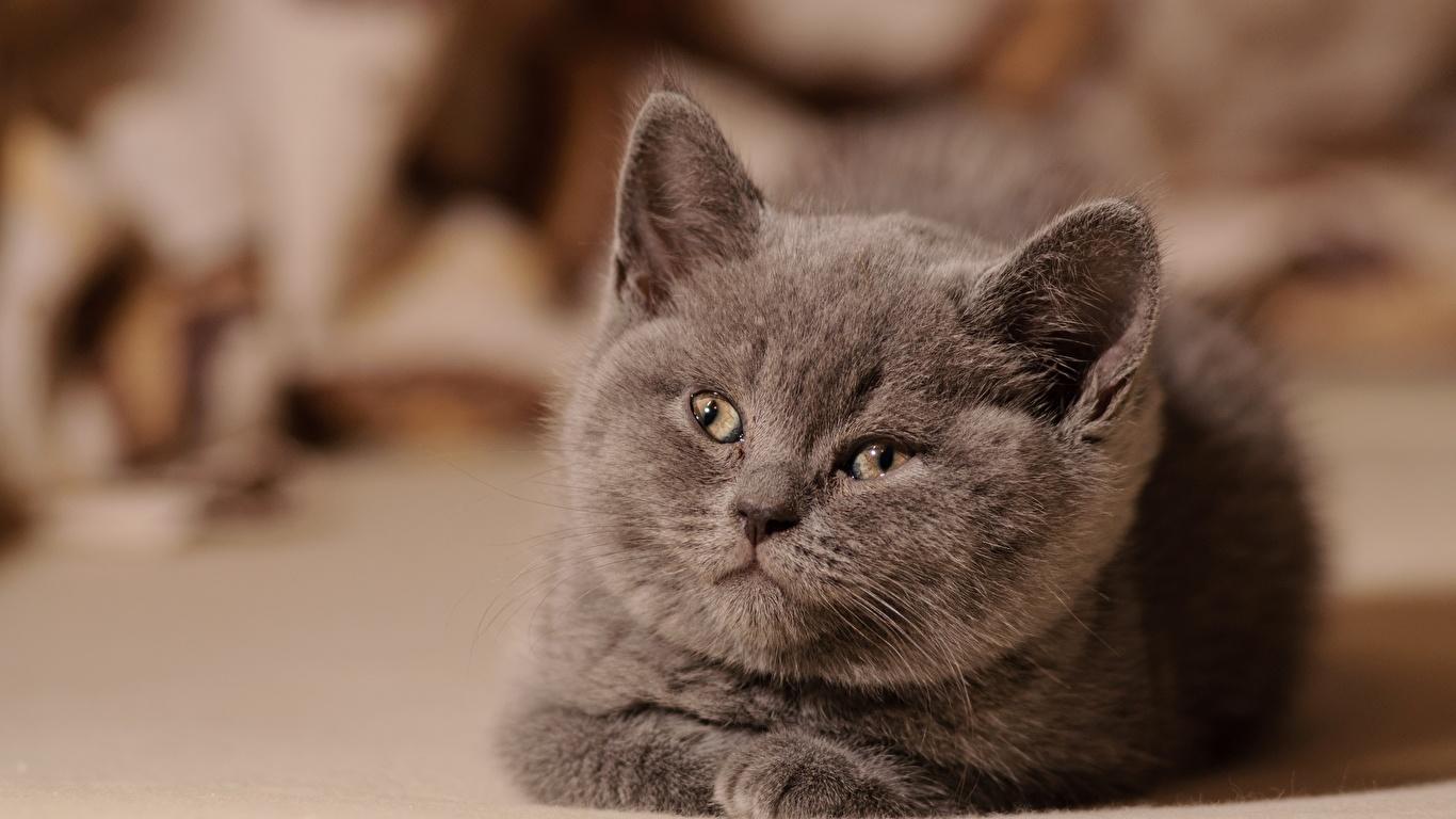 壁紙 1366x768 飼い猫 灰色 凝視 子猫 可愛い 動物 ダウンロード 写真