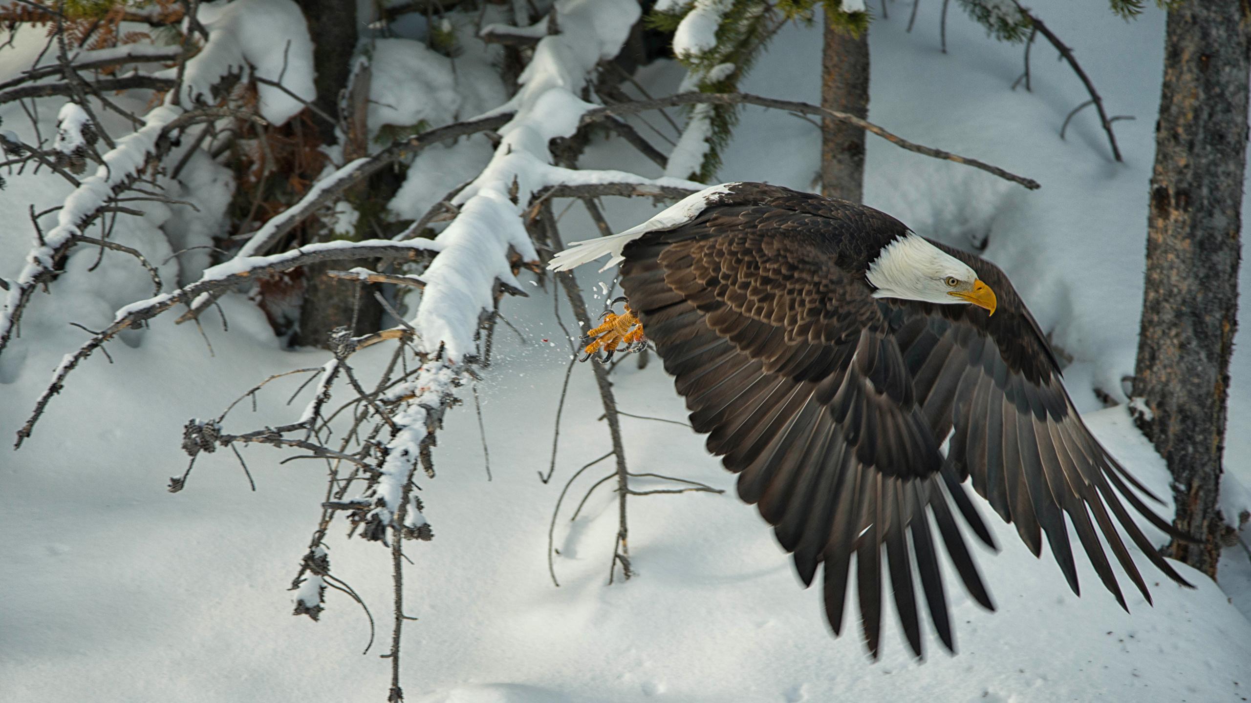 Fonds Decran 2560x1440 Oiseau Buse Hiver Vol Pygargue à