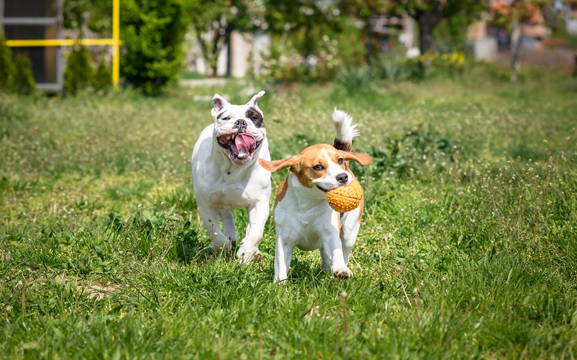 Images Beagle Bulldog Dogs Two Grass animal 1920x1200 dog 2 Animals