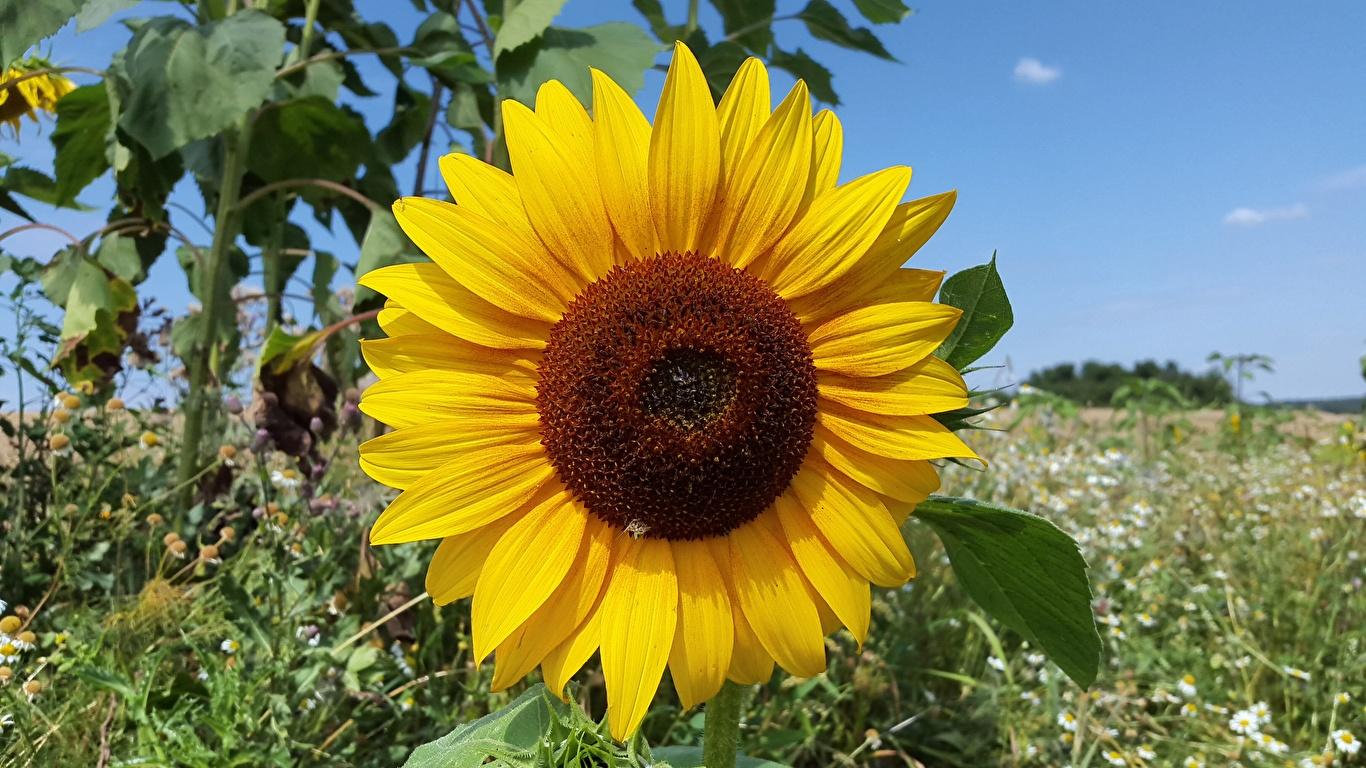 Bilder Gelb Blumen Sonnenblumen Nahaufnahme 1366x768 Blüte hautnah Großansicht