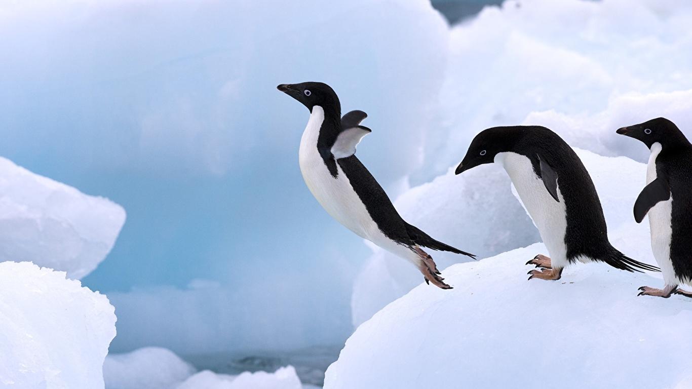 壁紙 1366x768 ペンギン 動物 ダウンロード 写真