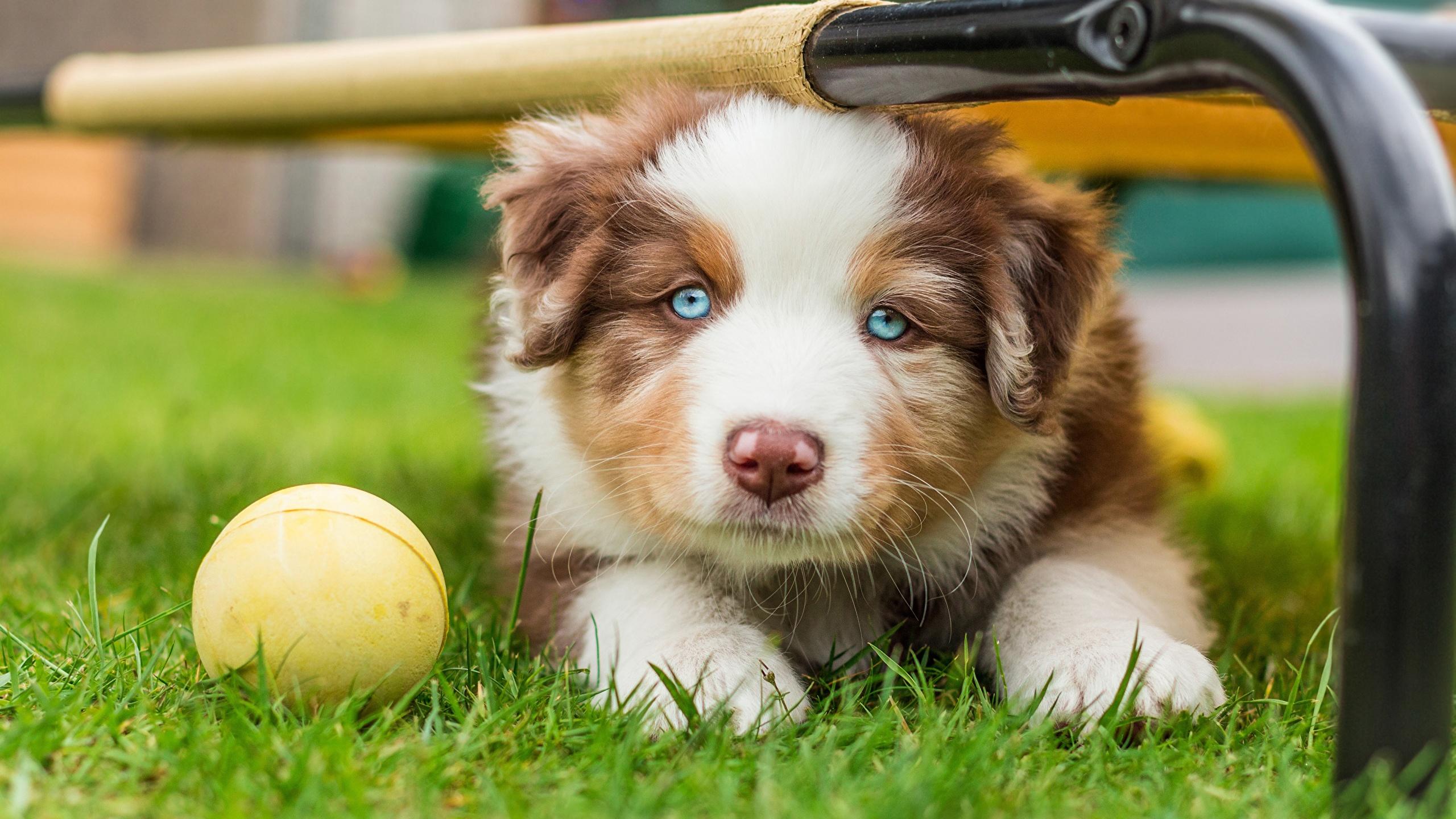 Pictures Puppies Aussie Dog Dogs Pretty Grass Glance 2560x1440