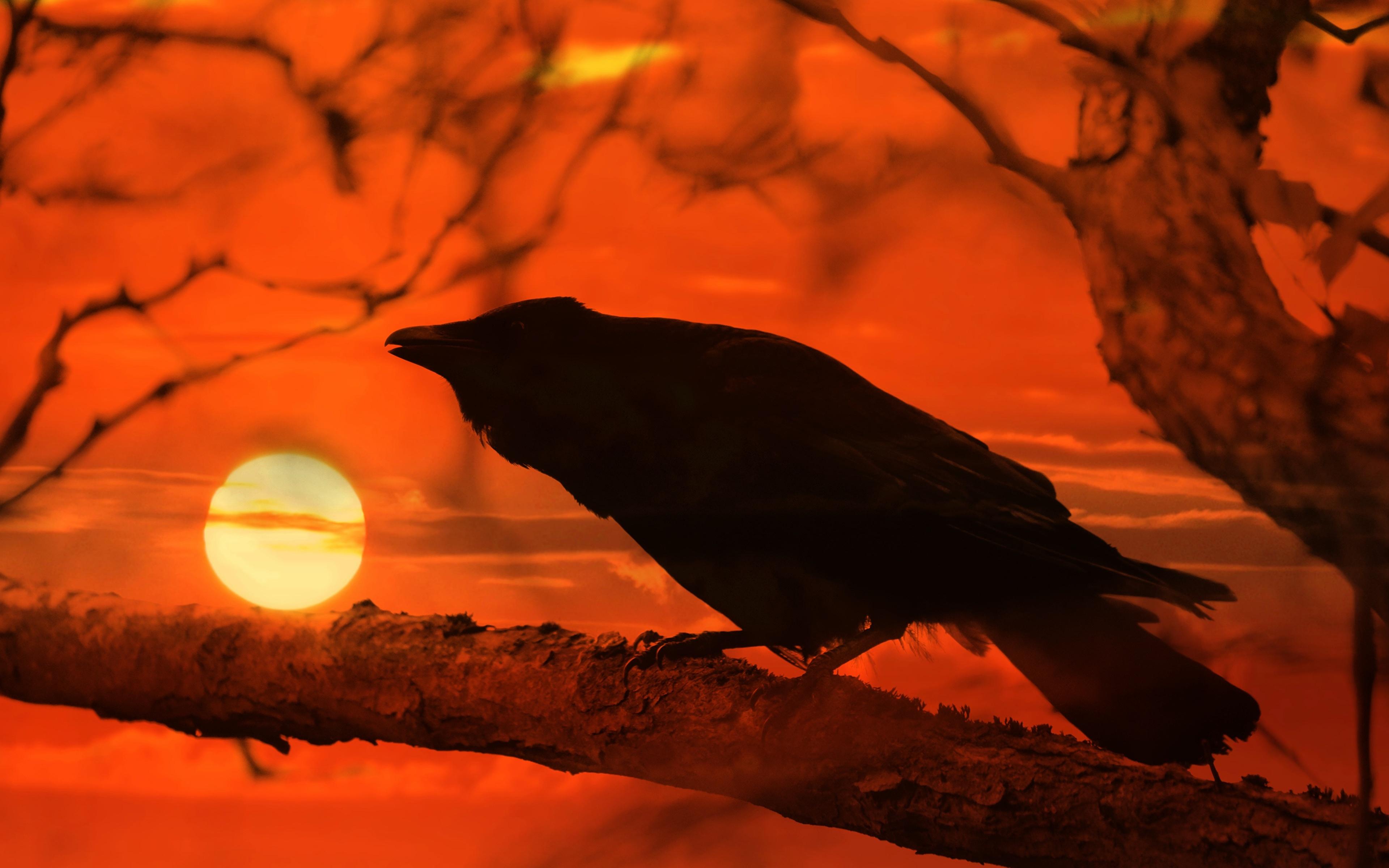 Bilder von Aaskrähe Sonne Sonnenaufgänge und Sonnenuntergänge Ast Tiere 3840x2400
