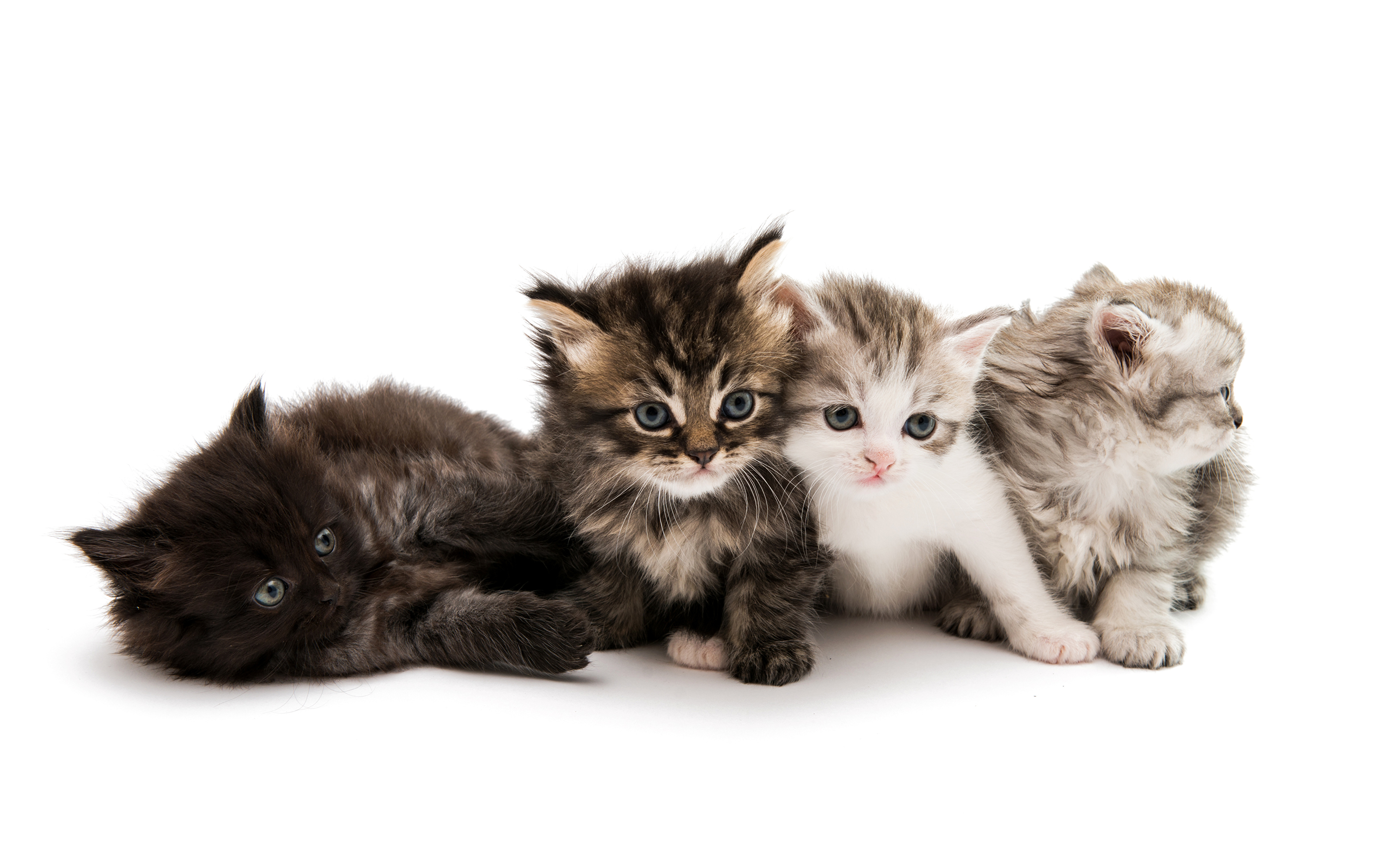 Pictures Kitty Cat Cat Animal White Background 3840x2400
