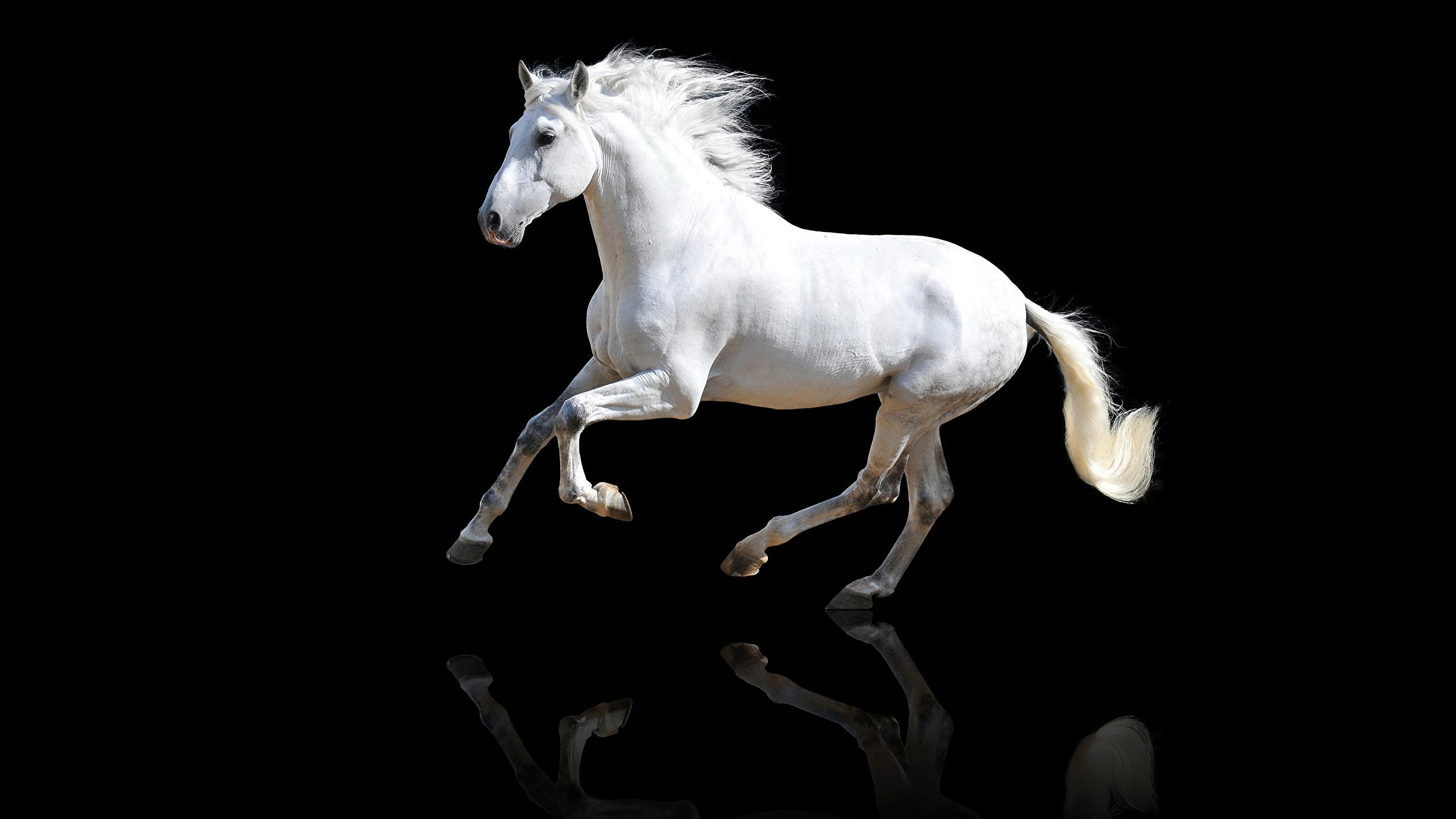 Обои для рабочего стола Лошади белых Животные Черный фон 2560x1440 лошадь белая белые Белый животное на черном фоне