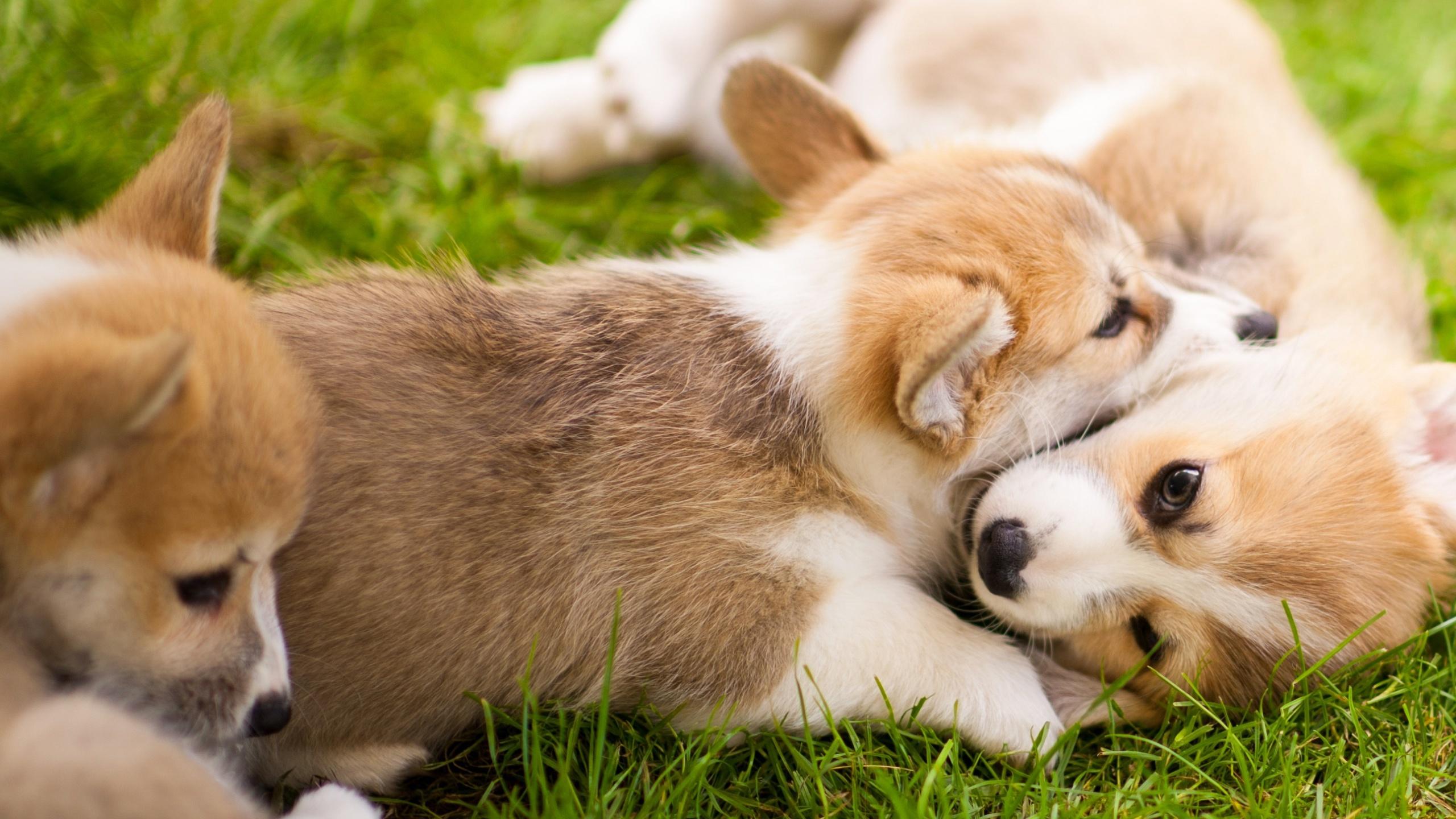 壁紙 2560x1440 イヌ 子犬 ウェルシュ コーギー 動物 ダウンロード 写真