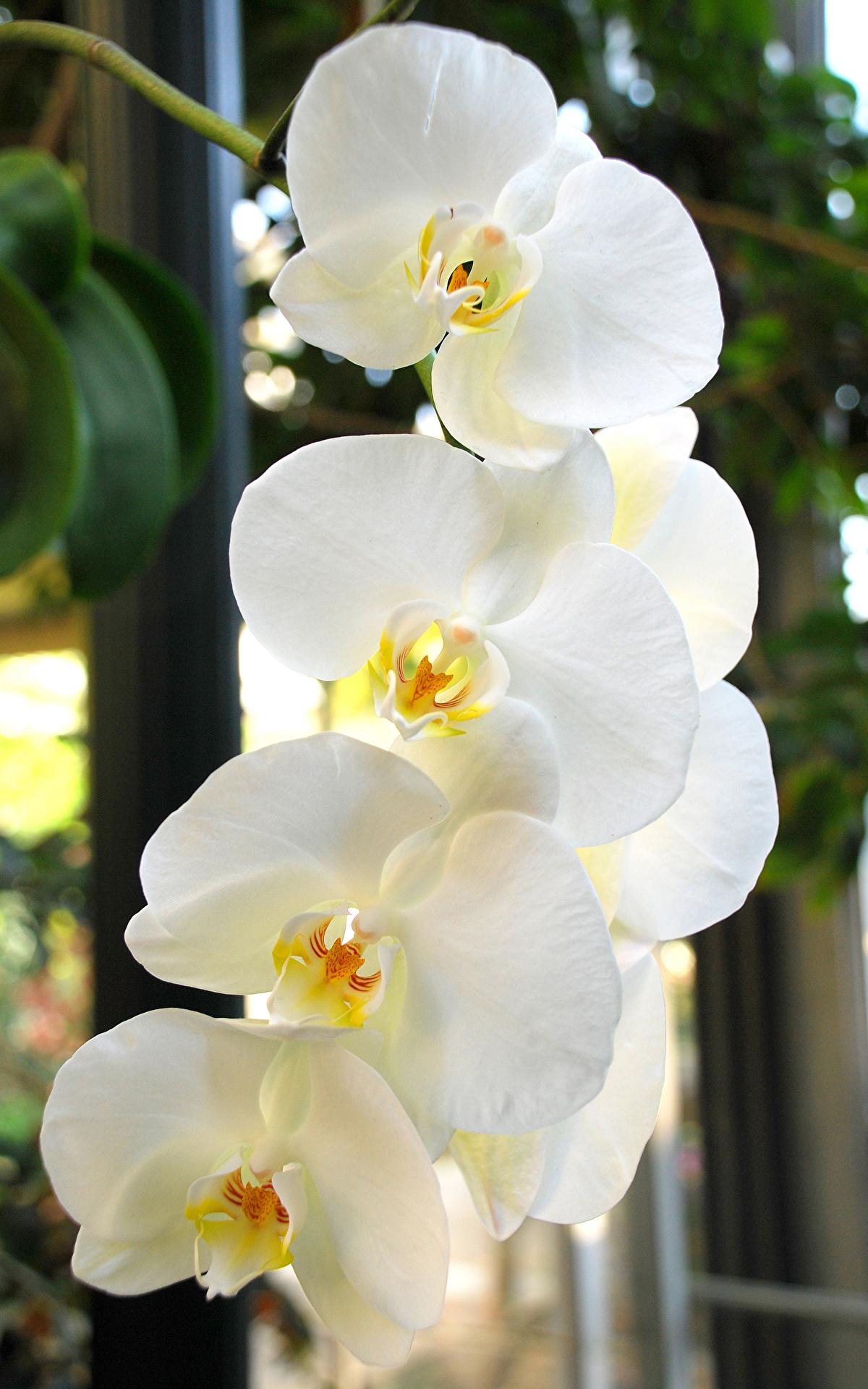 Fotos von Weiß Orchideen Blumen Großansicht 1200x1920