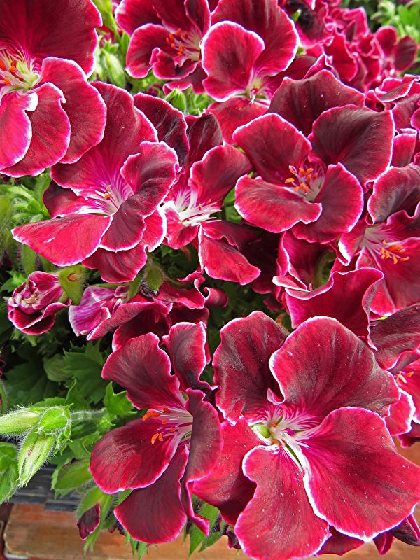 Fotos Pelargonium burgunder Farbe Blumen Storchschnäbel hautnah 600x800 für Handy dunkelrote Bordeauxrot Blüte Geranien Nahaufnahme Großansicht