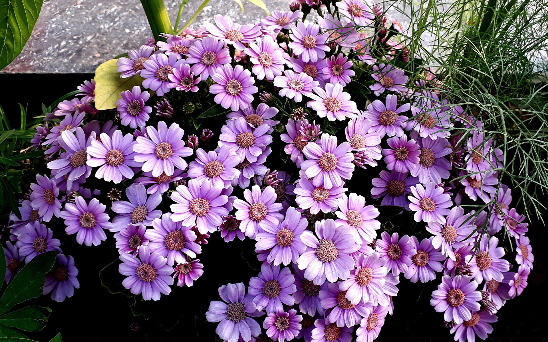 Fotos Violett Blüte Cineraria hautnah 1920x1200 Blumen Nahaufnahme Großansicht