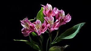 Hintergrundbilder Inkalilien Hautnah Schwarzer Hintergrund Blumen