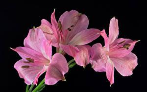 Hintergrundbilder Alstroemeria Nahaufnahme Schwarzer Hintergrund Rosa Farbe Blüte