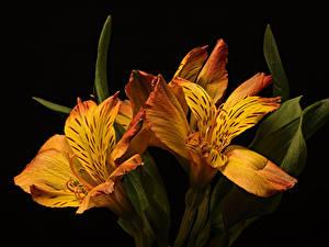 Fotos Alstroemeria Hautnah Schwarzer Hintergrund Drei 3 Orange Blüte