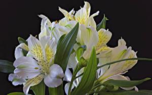 Bilder Alstroemeria Großansicht Schwarzer Hintergrund Weiß Blumen