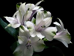 Hintergrundbilder Alstroemeria Weiß Schwarzer Hintergrund Blumen