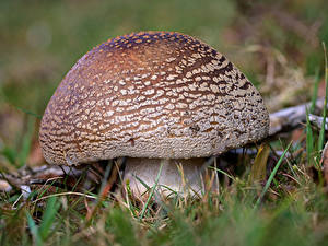 Hintergrundbilder Wulstlinge Pilze Natur Großansicht blusher