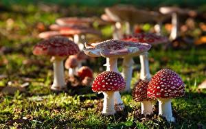 Fotos Wulstlinge Pilze Natur Gras Bokeh