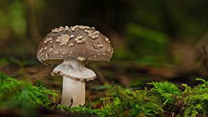 Bilder Wulstlinge Pilze Natur Laubmoose Unscharfer Hintergrund Grau Natur